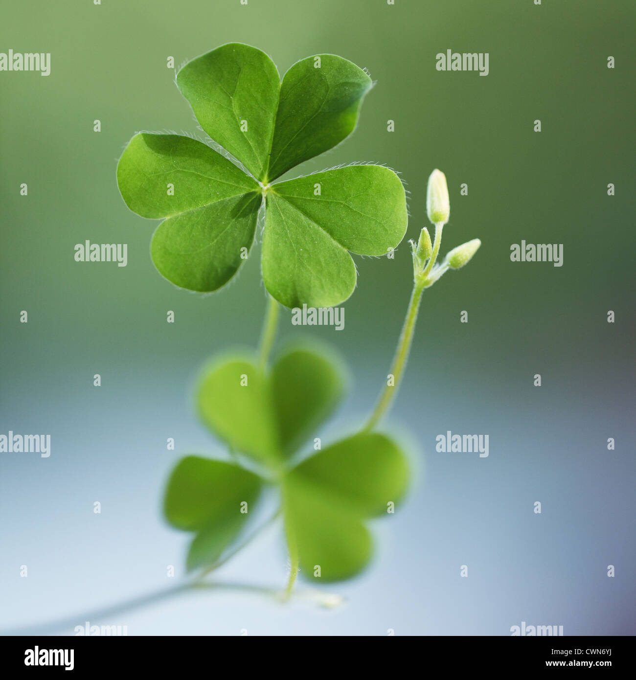 Three leaf clovers for backgrounds - Stock Image