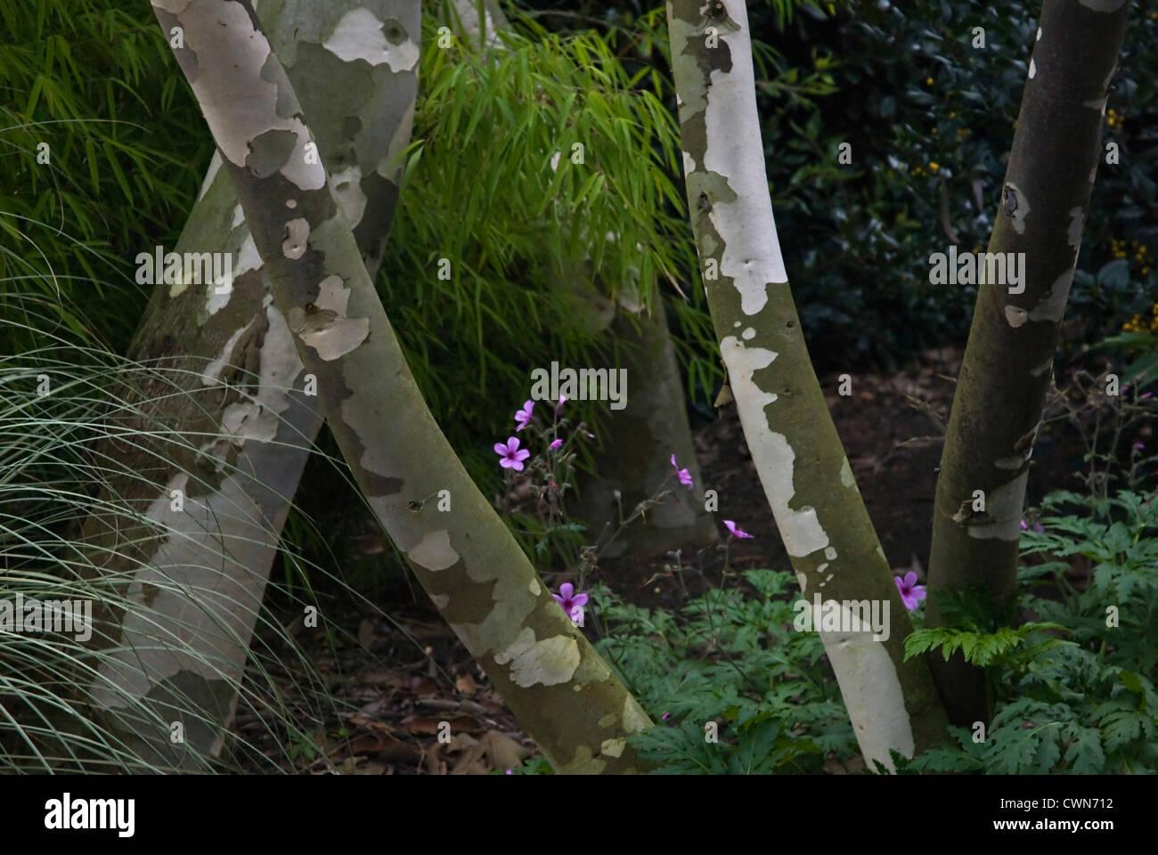 Eucalyptus niphophila, Snow gum - Stock Image