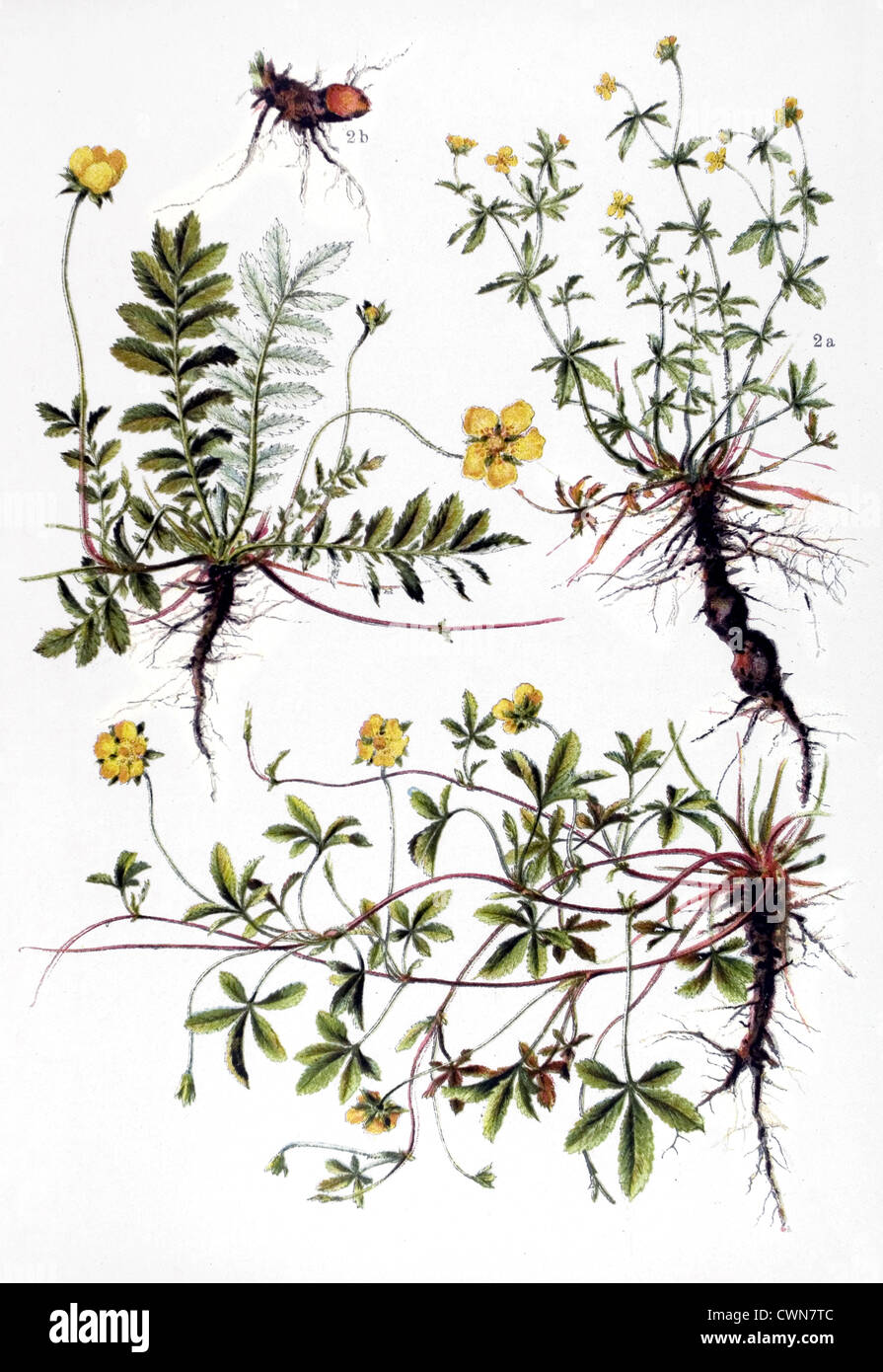 Cinquefoil and other herbs Stock Photo