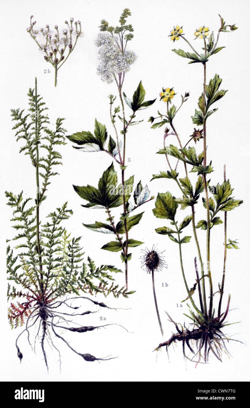 Avens and other herbs - Stock Image