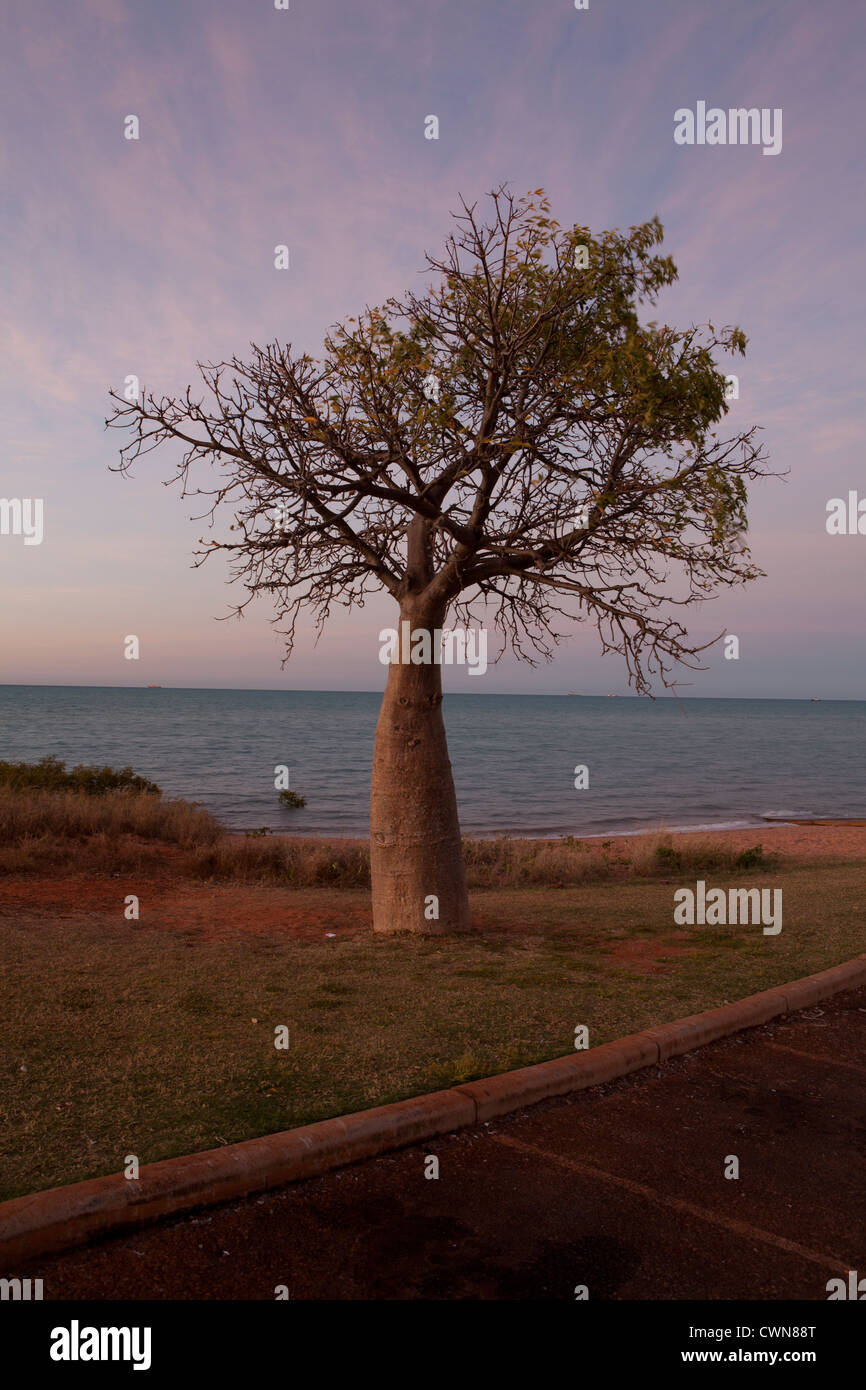 Boab tree at dawn in Broome, Western Australia. - Stock Image