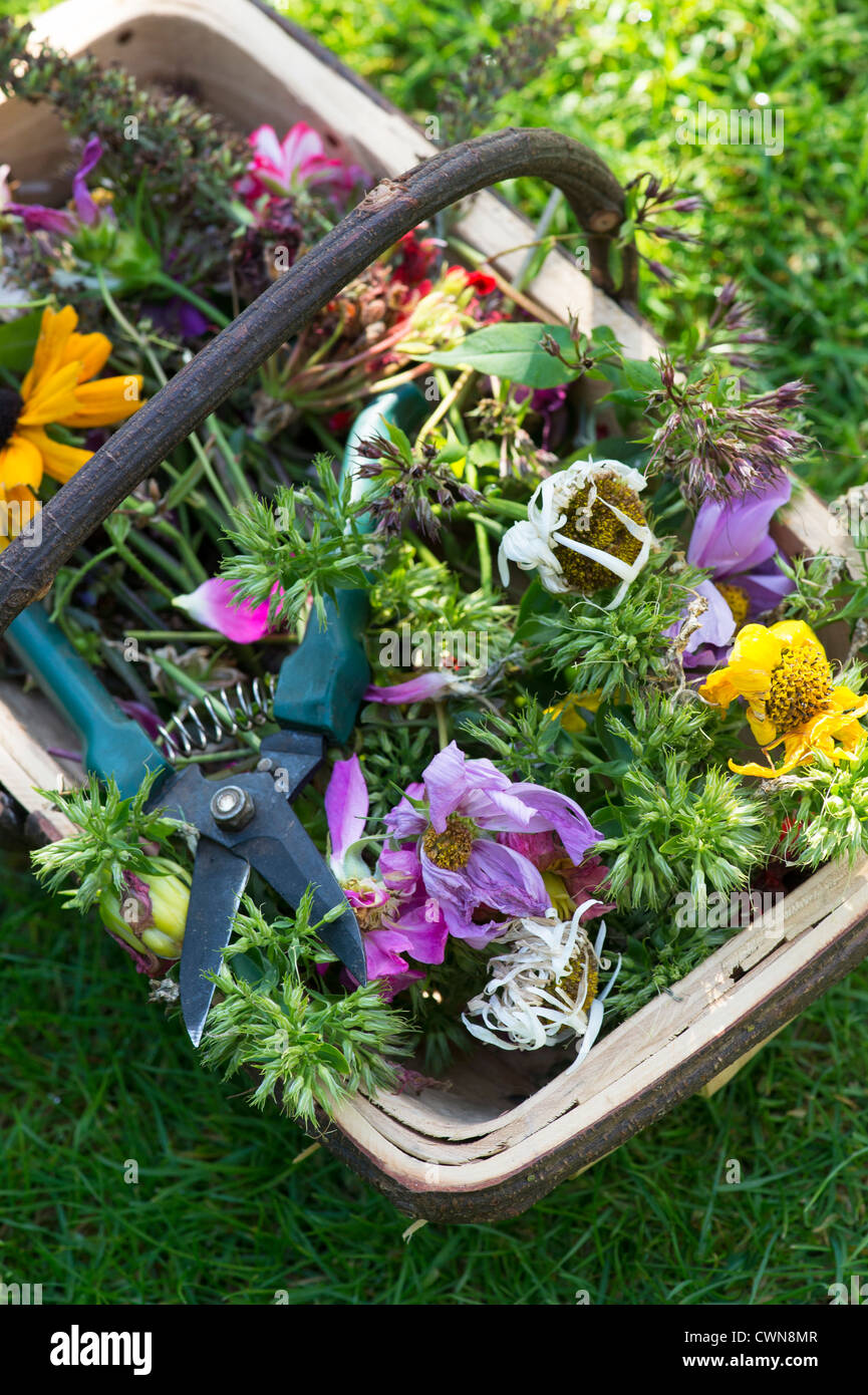 Dead headed flowers with secateurs in a wooden trug - Stock Image