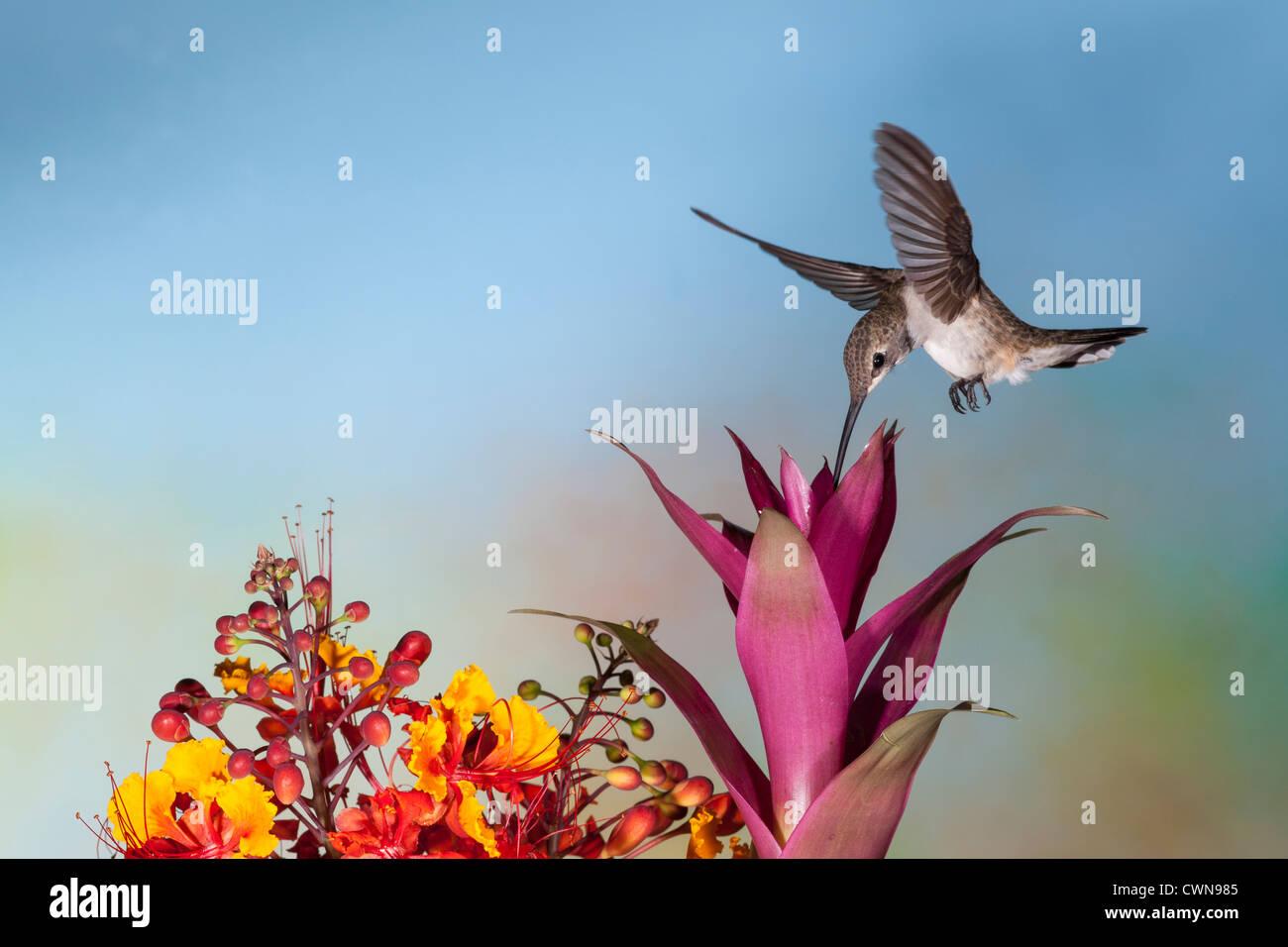 Black-chinned Hummingbird, Archilochus alexandri, feeding on nectar flowers. - Stock Image