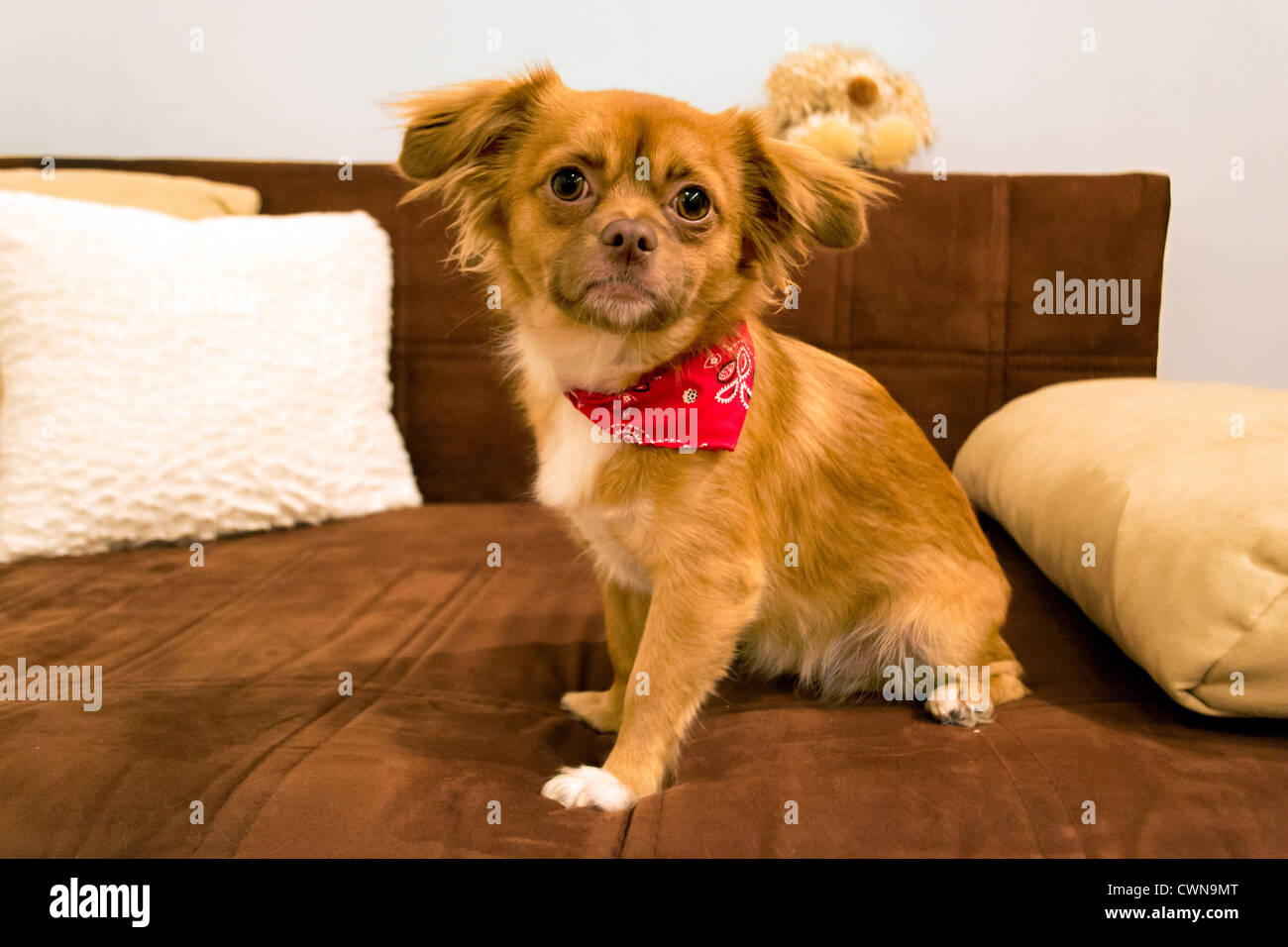 Dog with scarf posing on couch - Stock Image