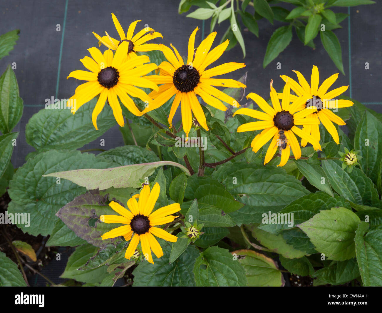 Bright yellow daisy like flowers of rudbeckia goldstrum a hardy bright yellow daisy like flowers of rudbeckia goldstrum a hardy perennial garden flower mightylinksfo