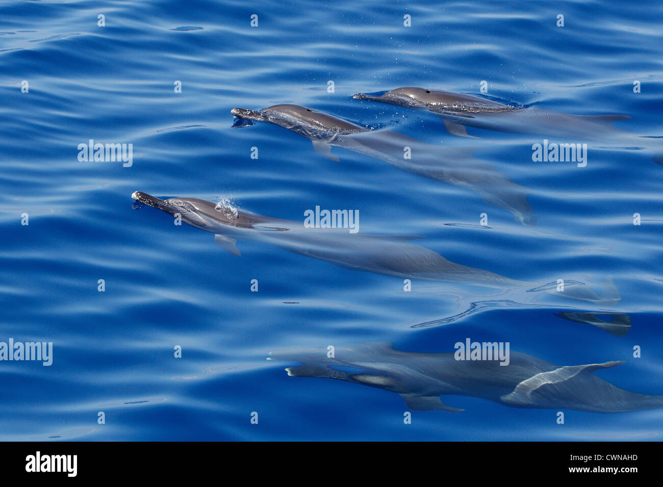 Pantropical Spotted Dolphins, Stenella attenuata, Schlankdelfine, Maldives, group surfacing - Stock Image