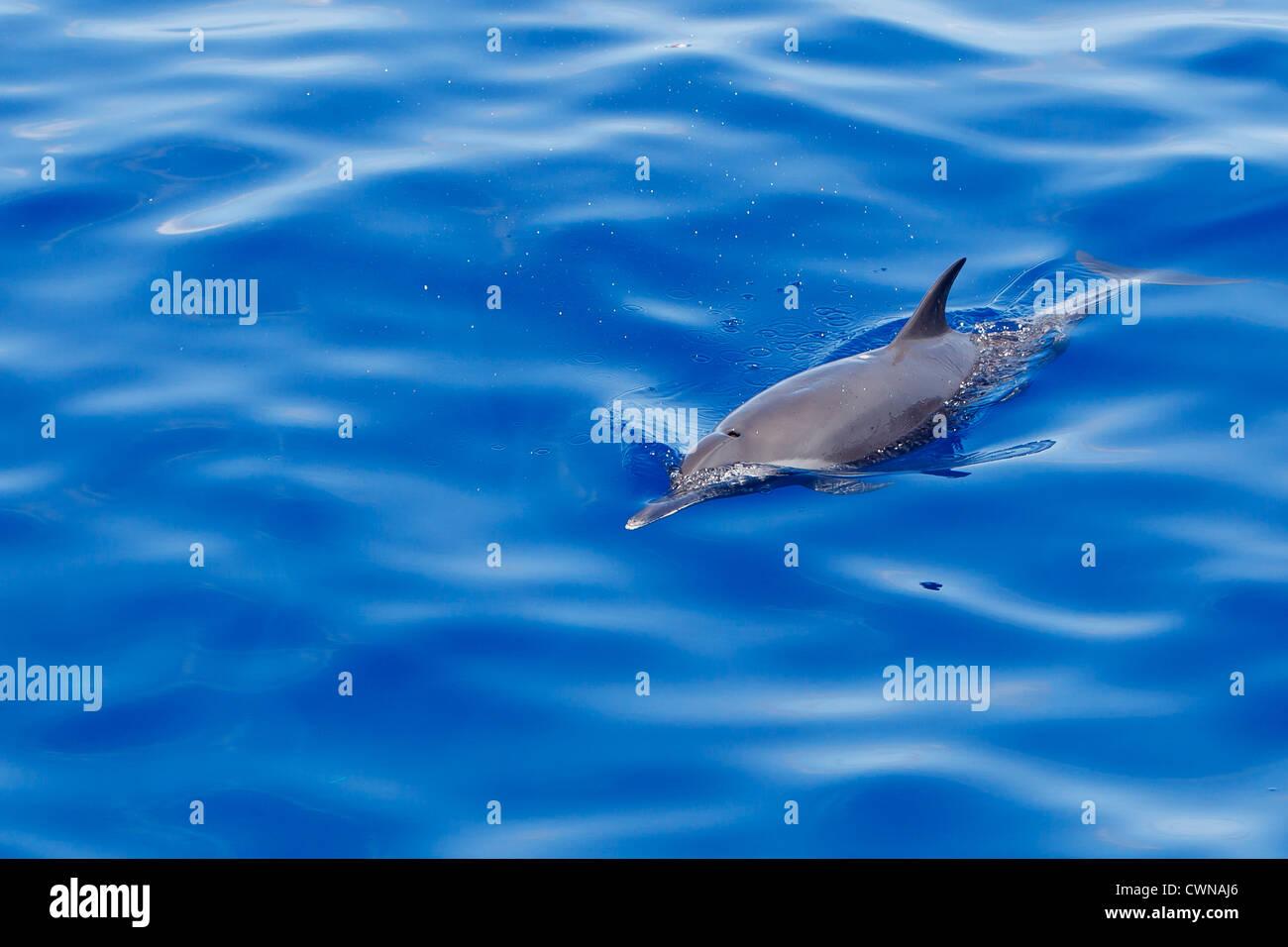 Pantropical Spotted Dolphin, Stenella attenuata, Schlankdelfin, Maldives - Stock Image
