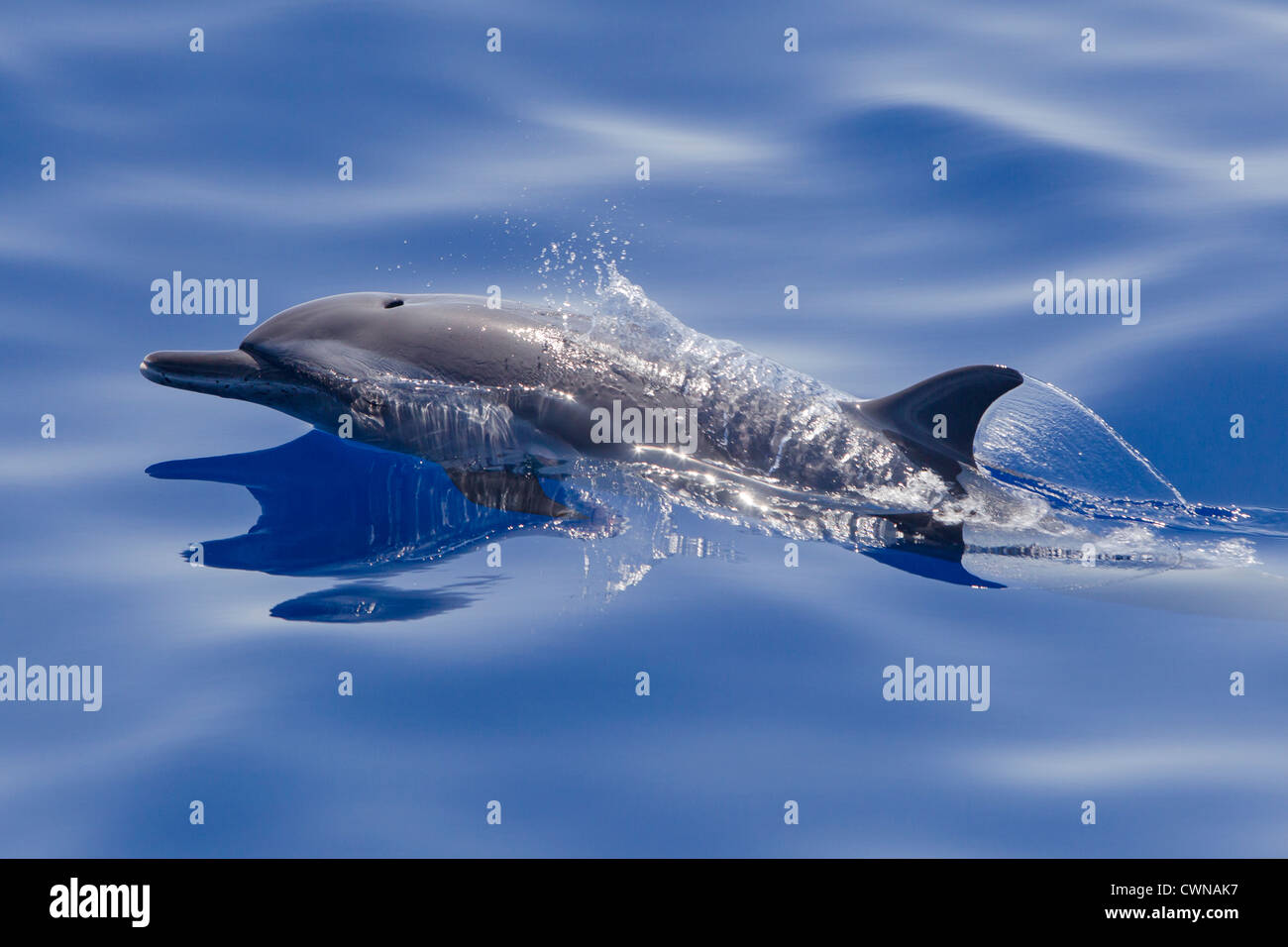 Pantropical Spotted Dolphin, Stenella attenuata, Schlankdelfin, Maldives, adult surfacing - Stock Image