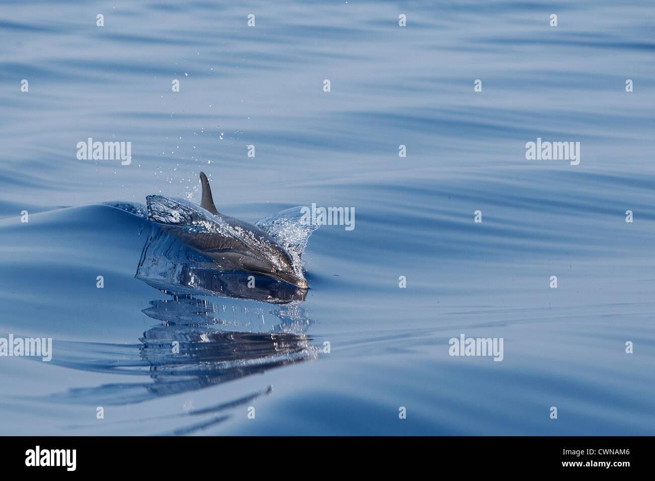 Pantropical Spotted Dolphin, Stenella attenuata, Schlankdelfin, surfacing, Maldives - Stock Image