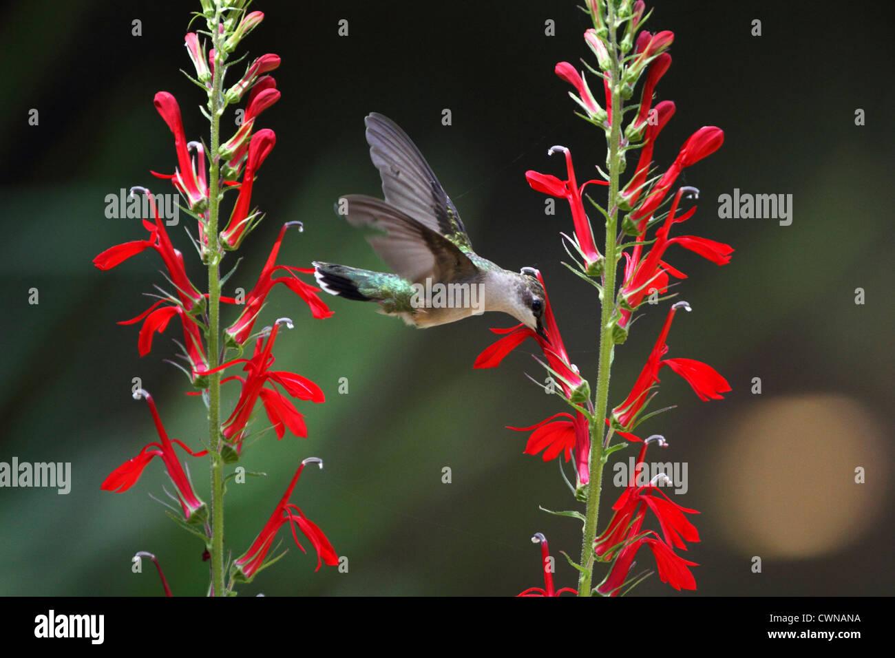 A Ruby-throated Hummingbird, Archilochus colubris flying to a Cardinal flower, Lobelia cardinalis. Female or immature Stock Photo