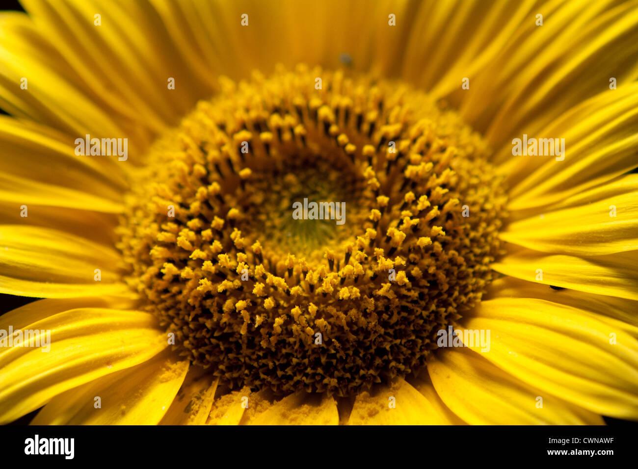 Sonnenblume, Sunflower - Stock Image
