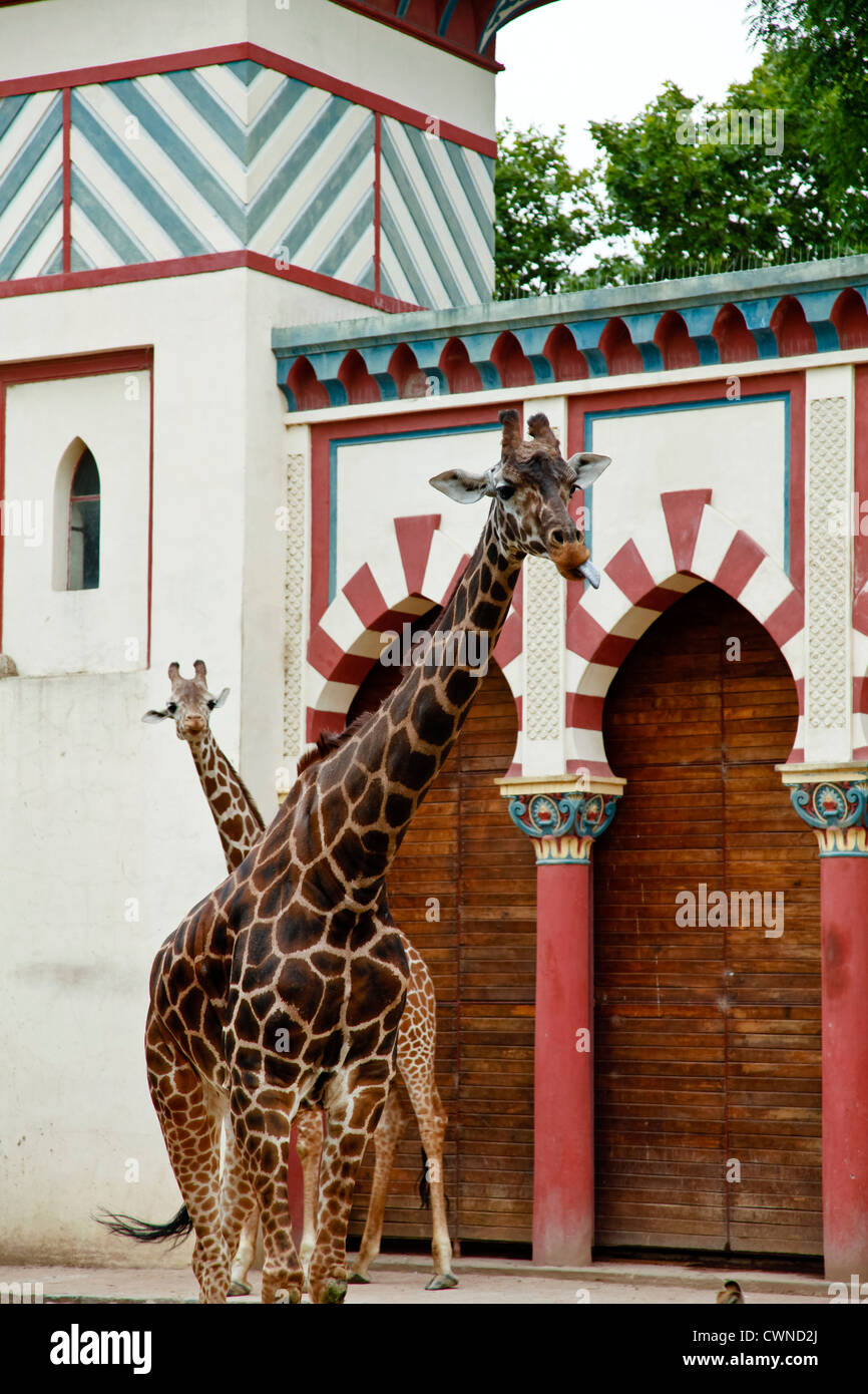 giraffes at Jardin Zoologico, Buenos Aires, Argentina. - Stock Image