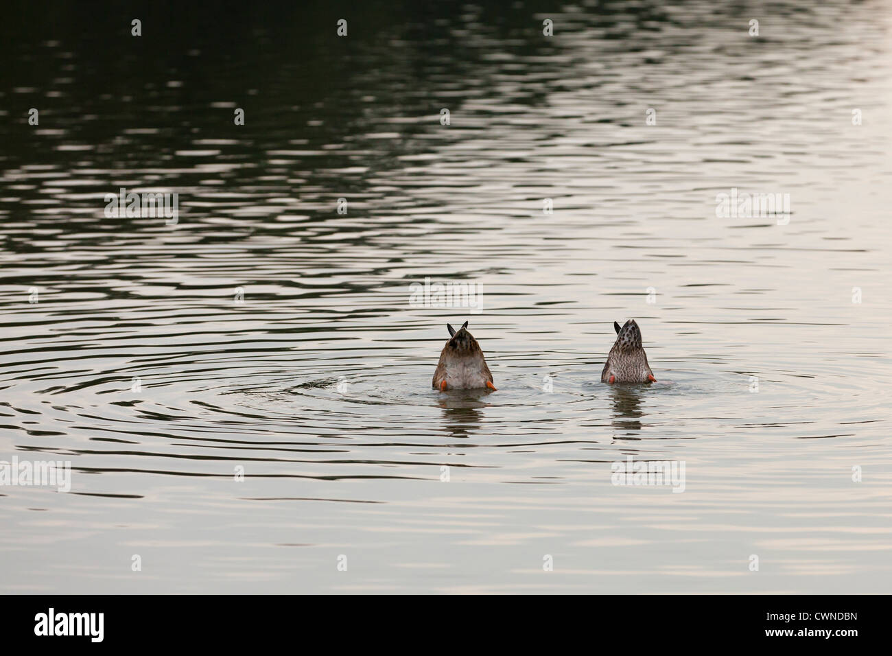 Inverted ducks in water - Stock Image