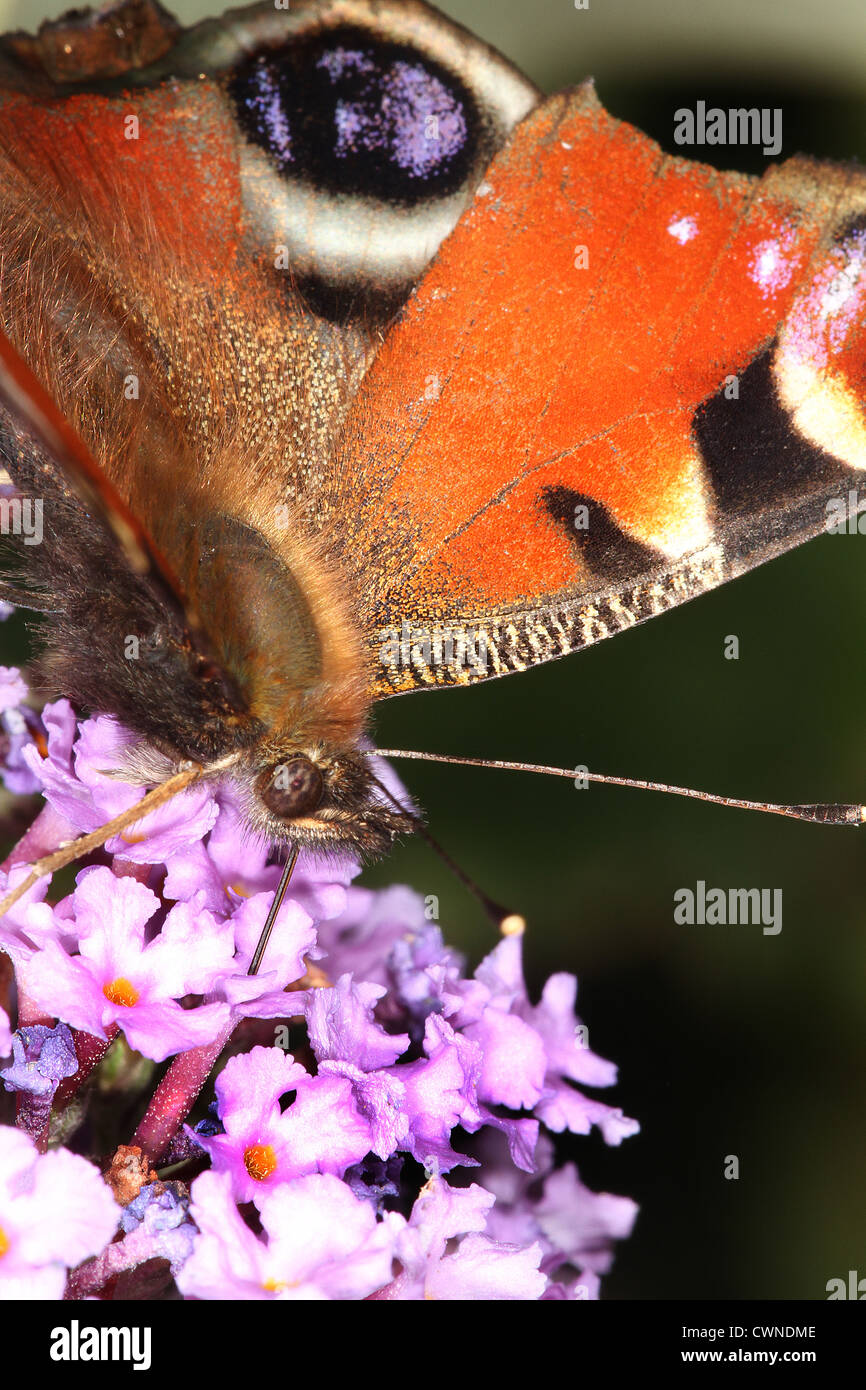 Peacock butterfly feeding on nectar from Budlia bush. - Stock Image