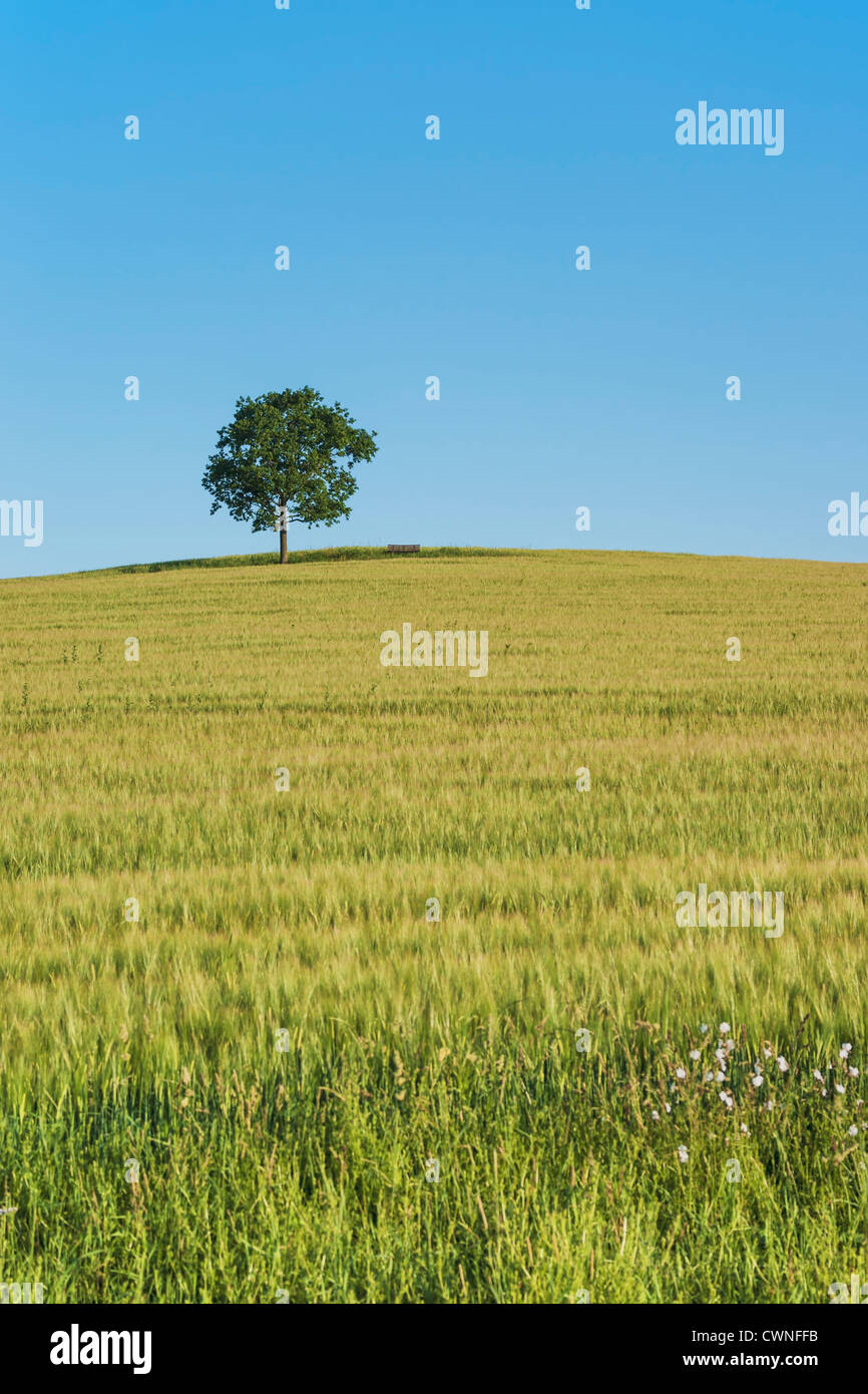 An oak tree and a Bench (furniture) standing on a hill in a wheat field in summer. Stock Photo