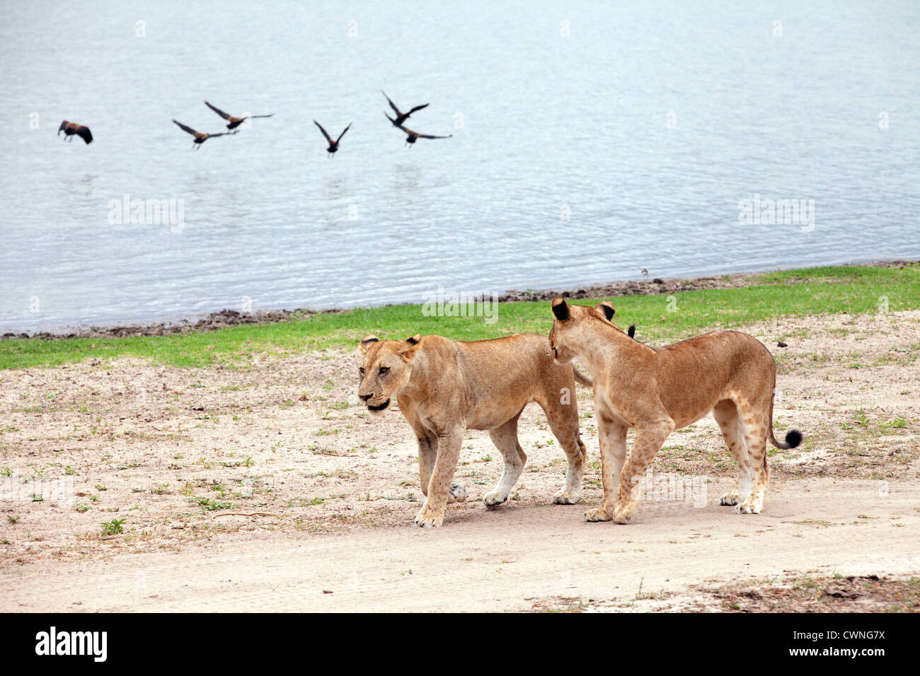 Two immature lions walking by Lake Manze, Selous Game reserve scene view, Tanzania Africa - Stock Image