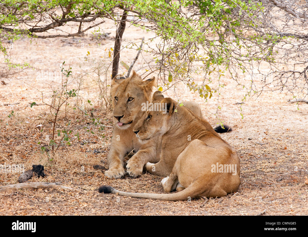 An adult female lion (Panthera Leo) and her adolescent male