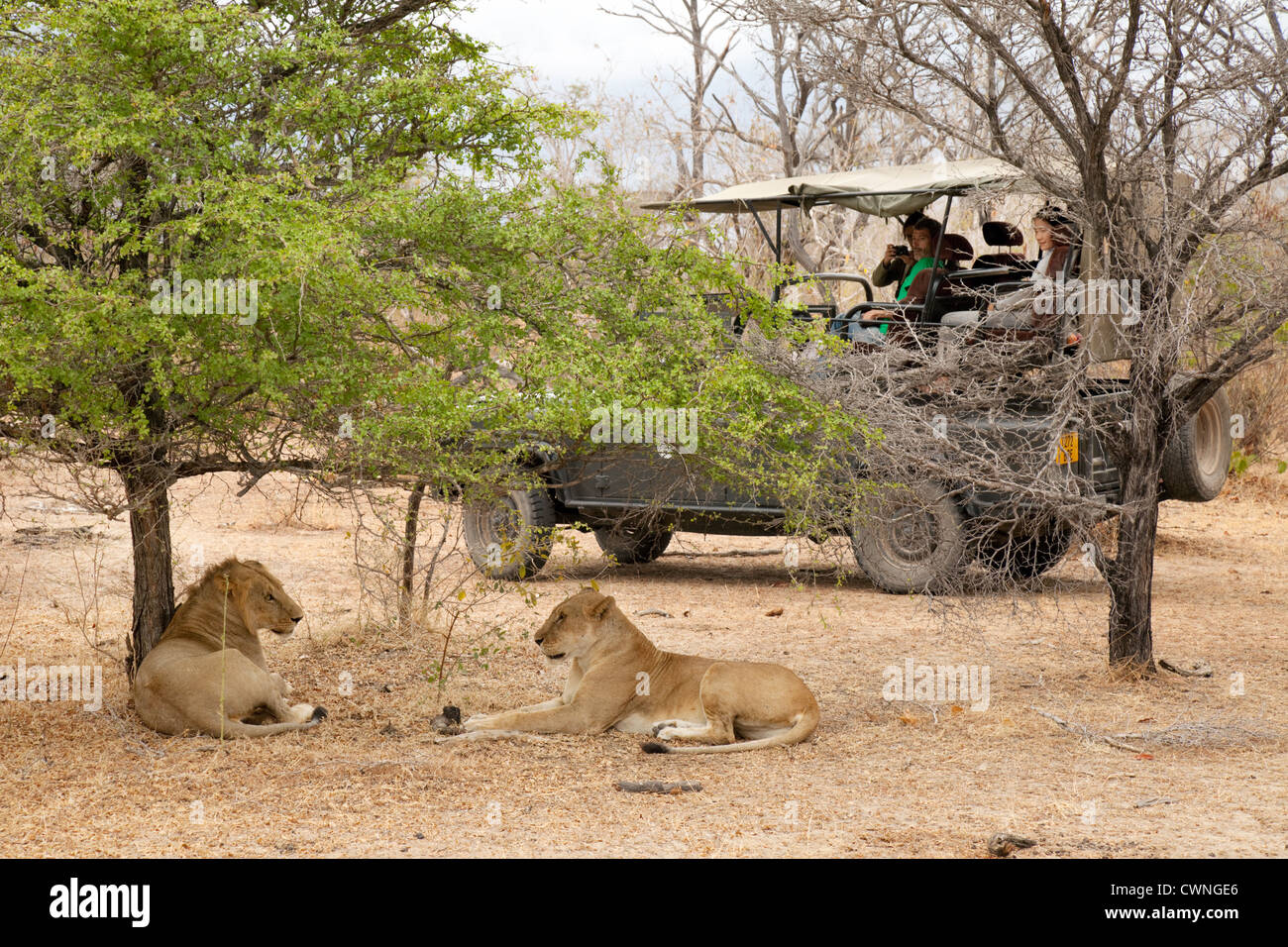 Jeep safari with lions, Selous Game Reserve Tanzania Africa - Stock Image