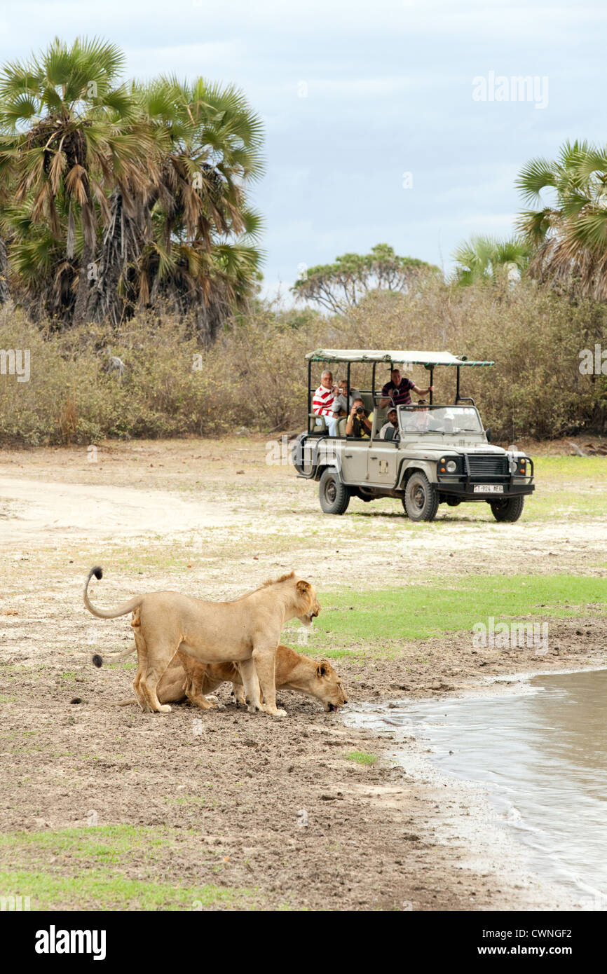 tourists on an african jeep safari watching lions, Selous Game reserve Tanzania Africa - Stock Image
