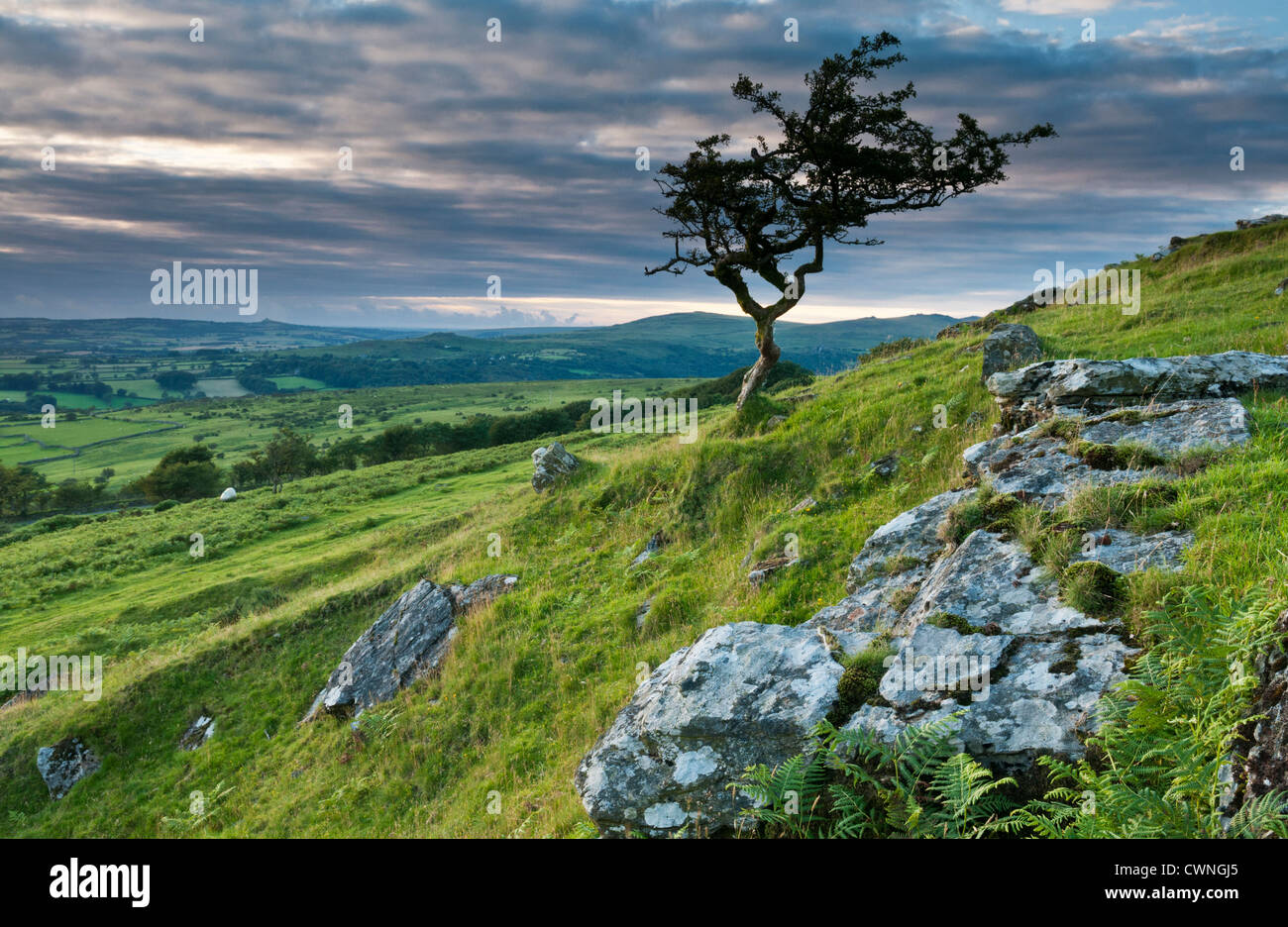 Hawthorn tree on Dartmoor at sunset, Devon, UK - Stock Image