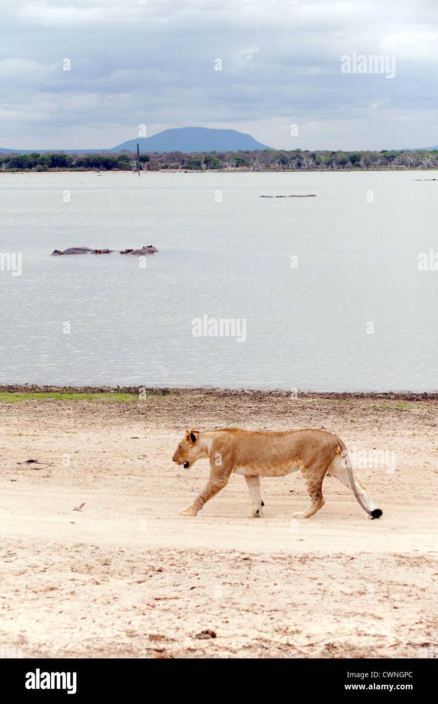 A lion walking by Lake Manze, Selous Game reserve scene view, Tanzania Africa - Stock Image
