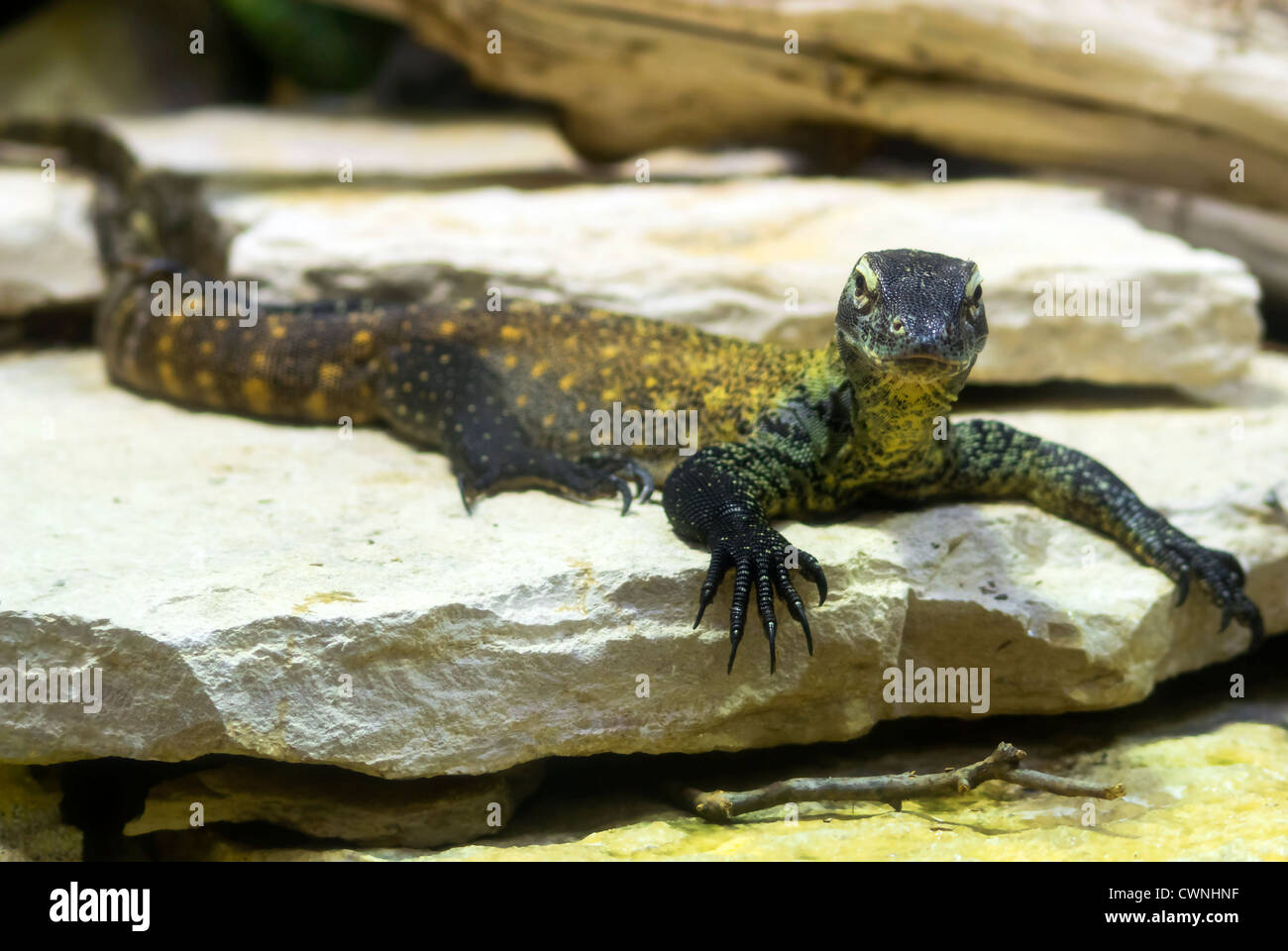 A crafty komodo dragon - Stock Image
