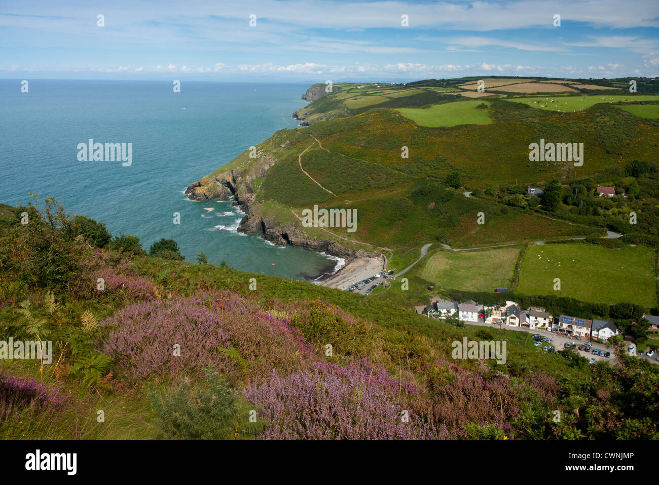Cwmtydu Beach and coastline in summer with heather in foreground Ceredigion Mid Wales UK - Stock Image