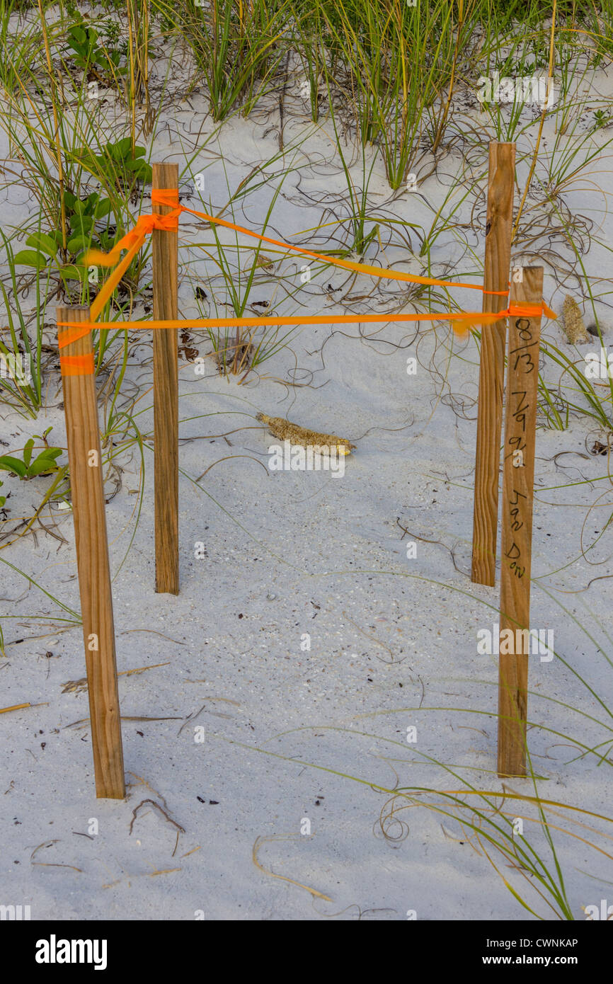 Sea turtle nests are marked and monitored by volUnteers - Stock Image