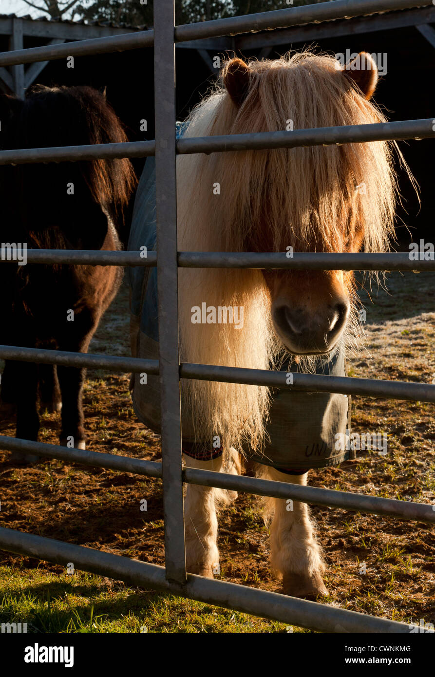 Two Shetland ponies looking through a metal gate, one wearing a winter  turnout rug - Stock Image