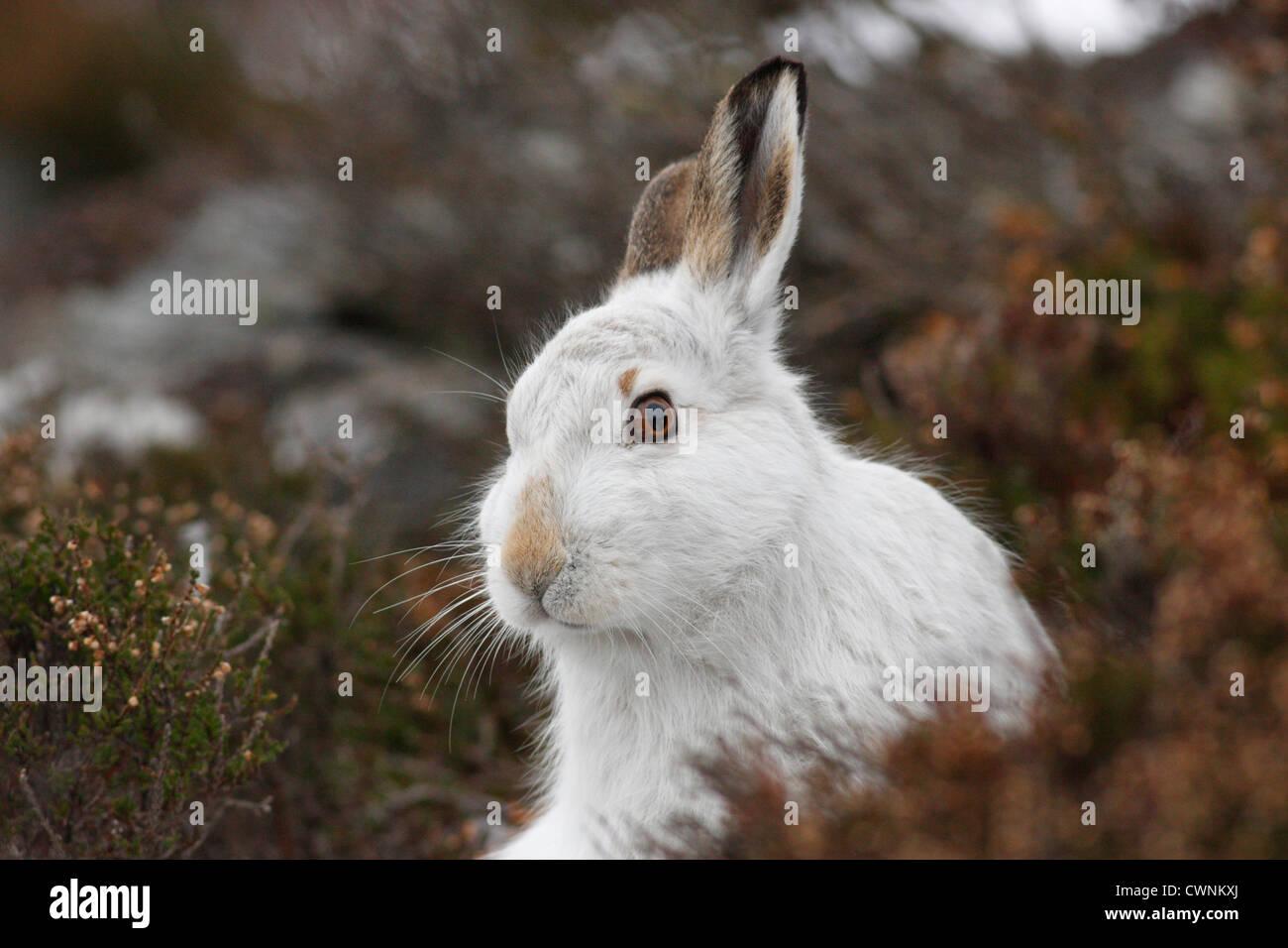 Mountain Hare (Lepus timidus) in white winter pelage, Highlands, Scotland, UK - Stock Image