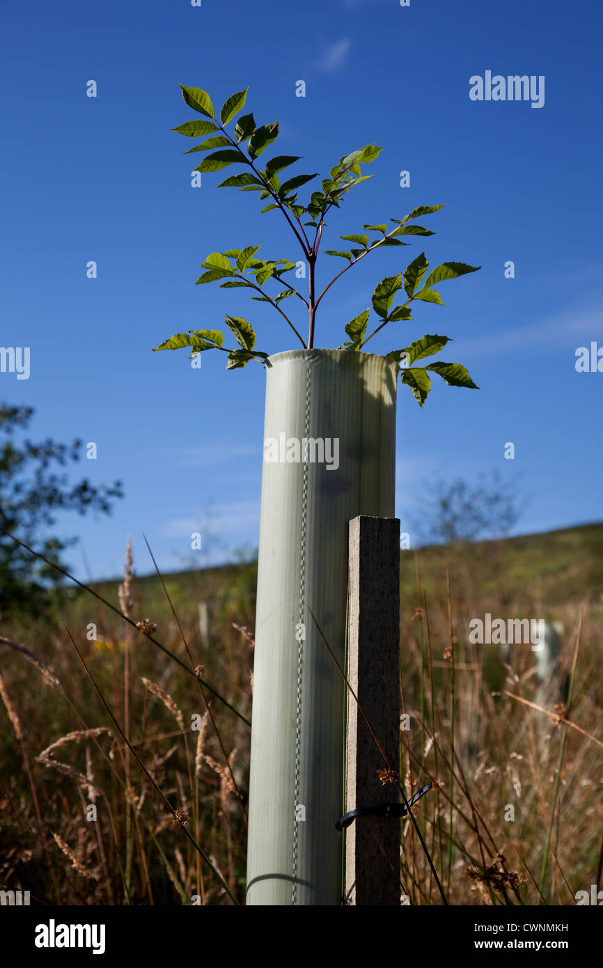 Alder. sapling. Young trees in leaf, protected by plastic tree tubes,  growing in forestry Plantation, North Yorkshire - Stock Image