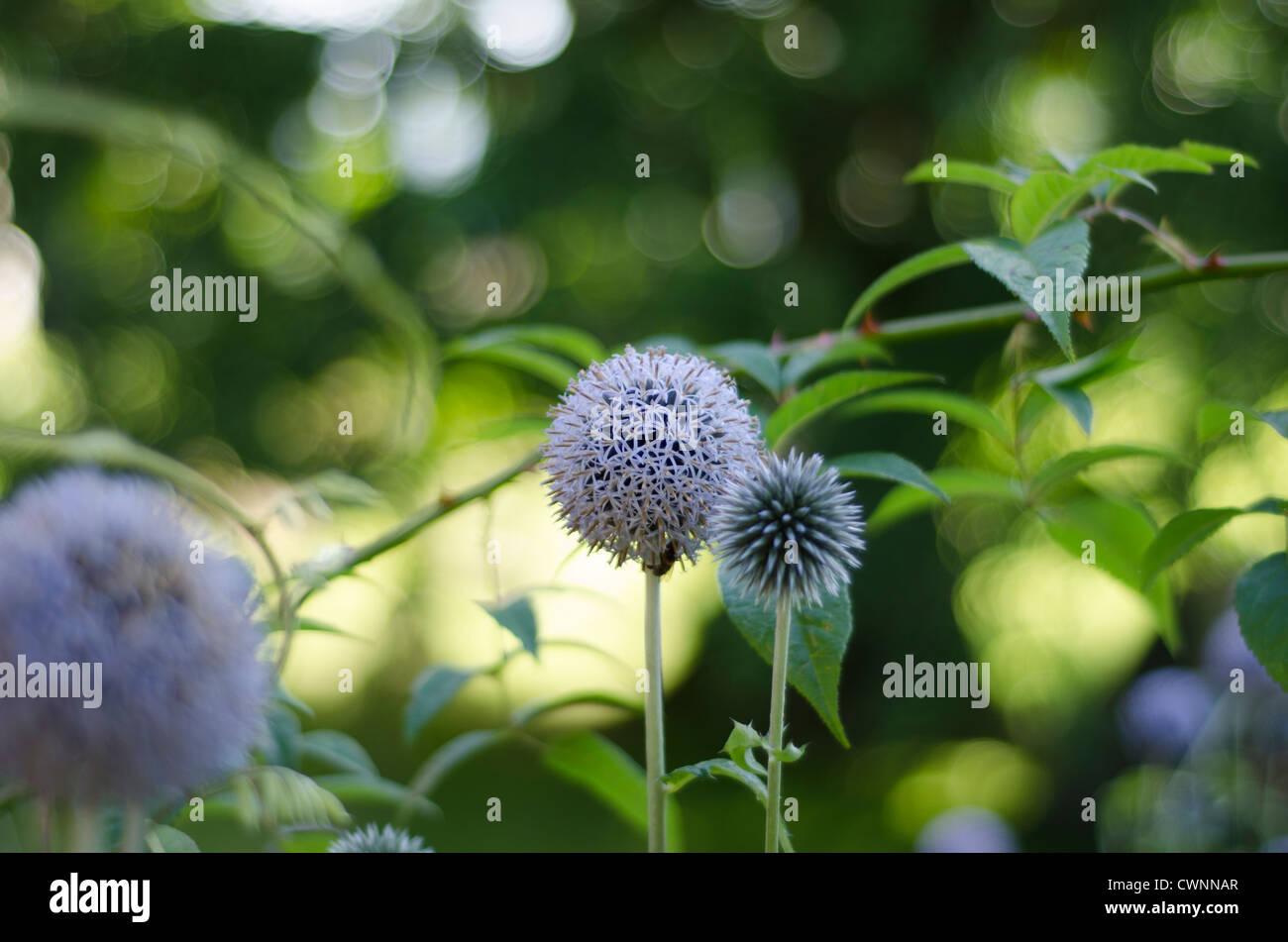 The purple, spherical, geometric flowers of the globe thistle - Echinops setifer - Stock Image