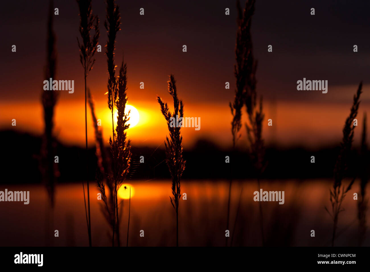 Sonnenuntergang hinter Gras am See, Sunset behind gras at a lake - Stock Image