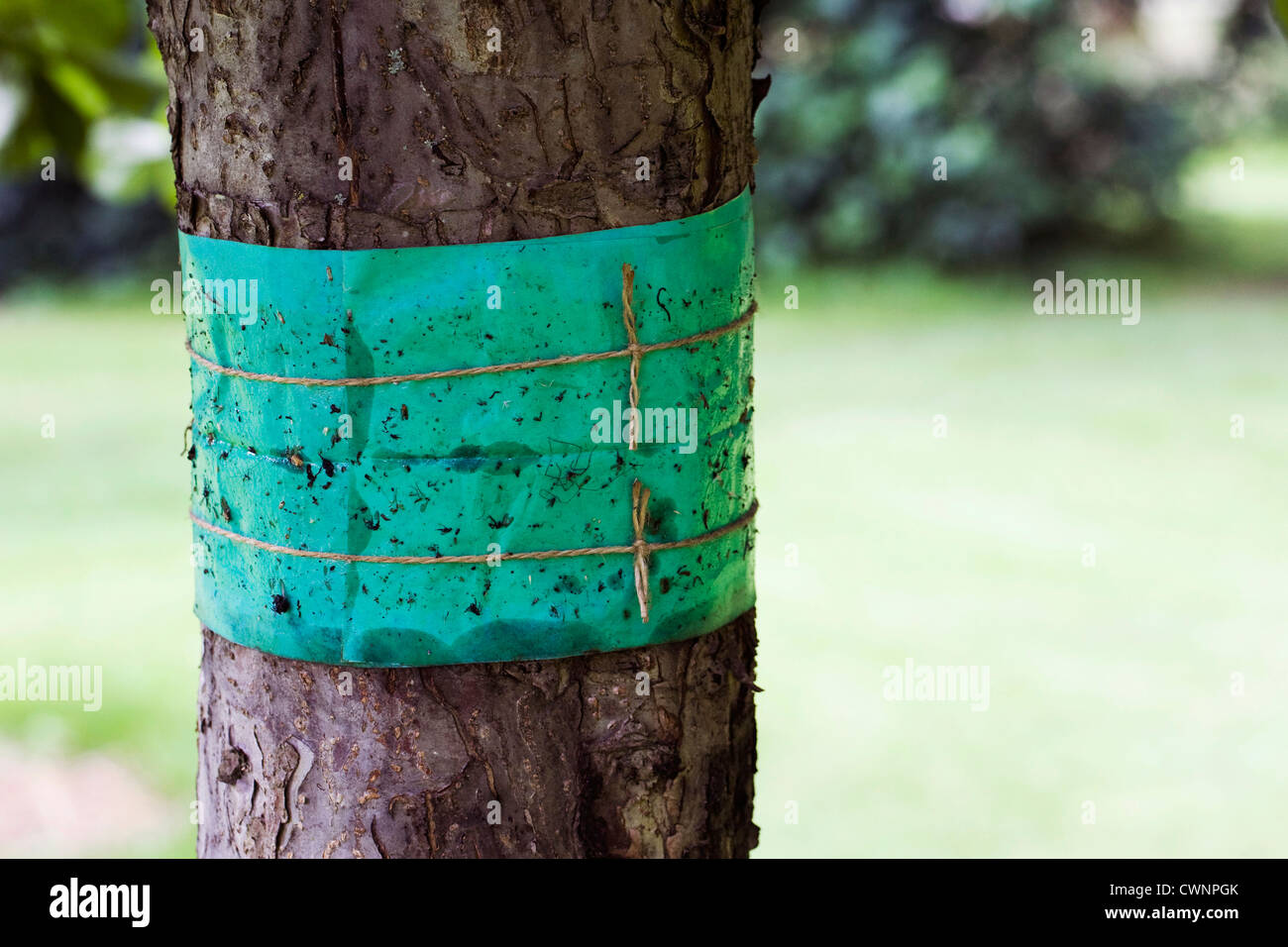 Grease band around an apple tree trunk, used to prevent wingless moths climbing the trunk of the tree. Stock Photo