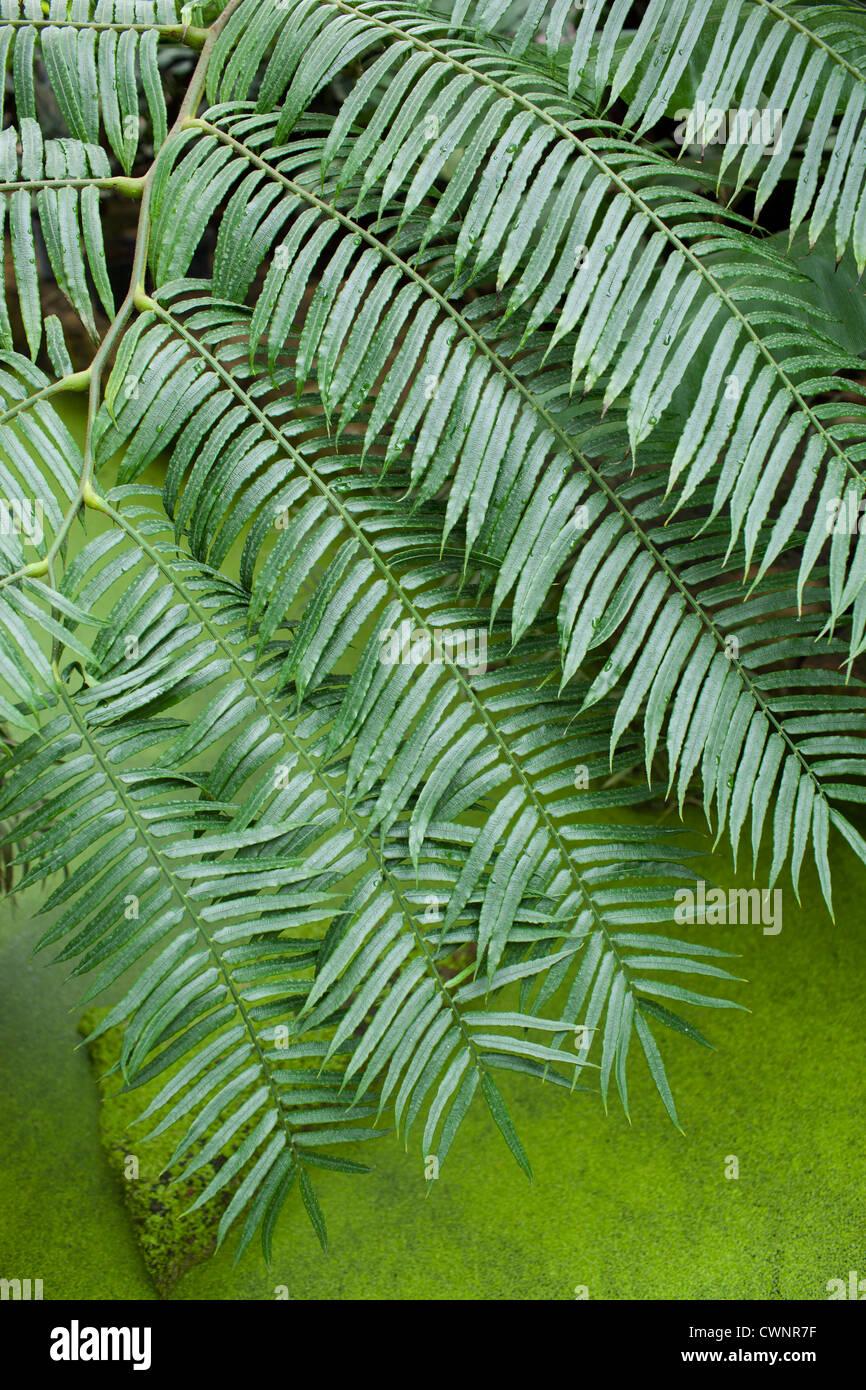Tropical fern above algae covered pond - Stock Image