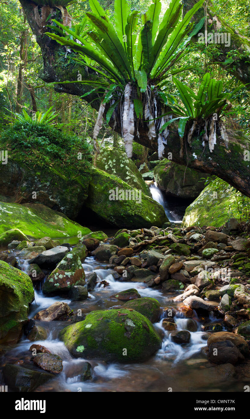 Flowing rainforest stream, Minnamurra Rainforest, NSW, Australia - Stock Image