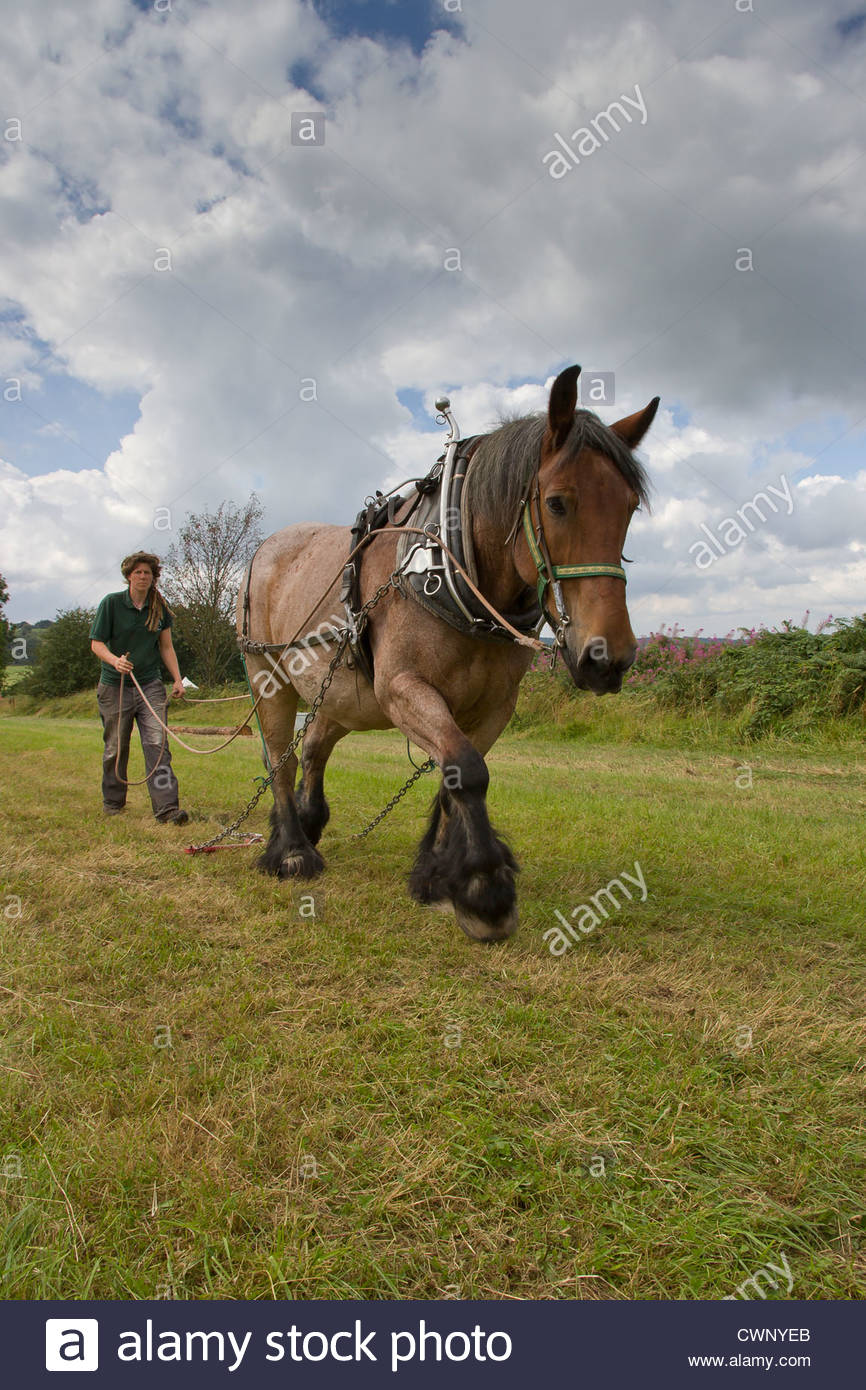 A horse with harness for dragging logs - Stock Image