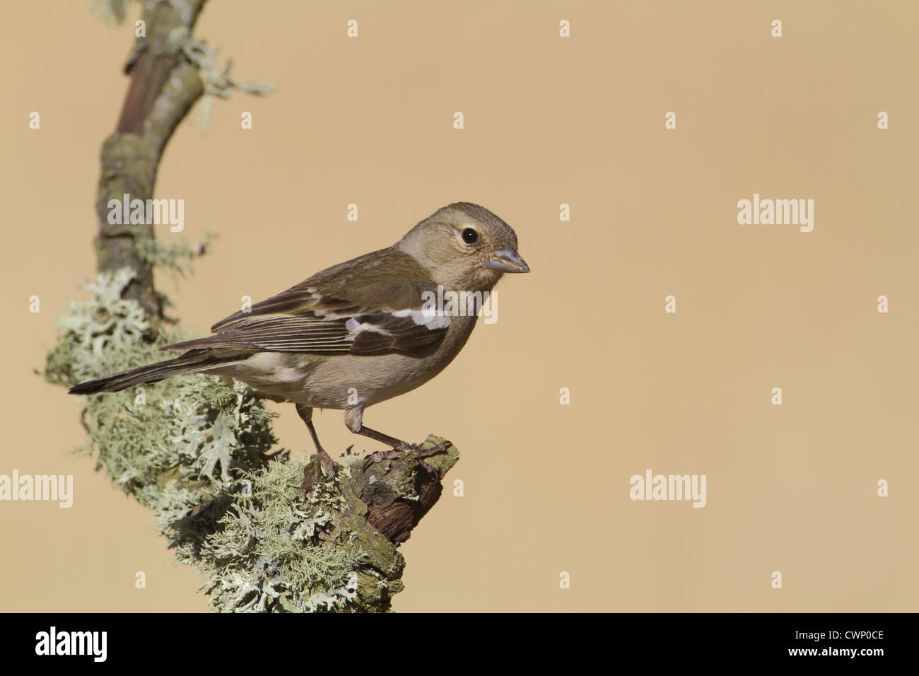 Chaffinch (Fringilla coelebs) adult female, perched on lichen covered twig, Castilla y Leon, Spain, june - Stock Image