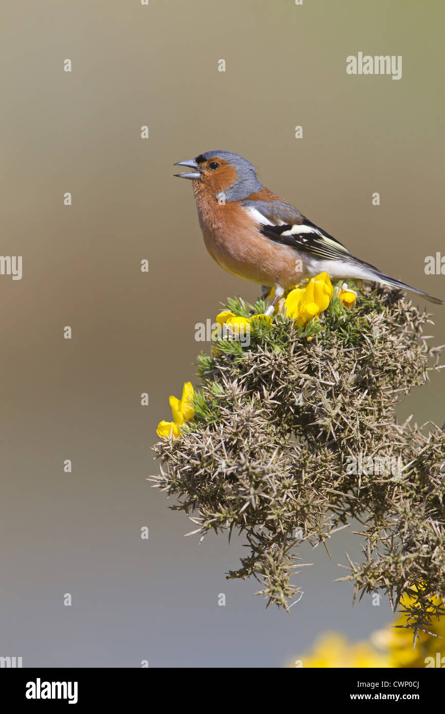 Chaffinch (Fringilla coelebs) adult male, singing, perched on flowering gorse, Minsmere RSPB Reserve, Suffolk, England, - Stock Image
