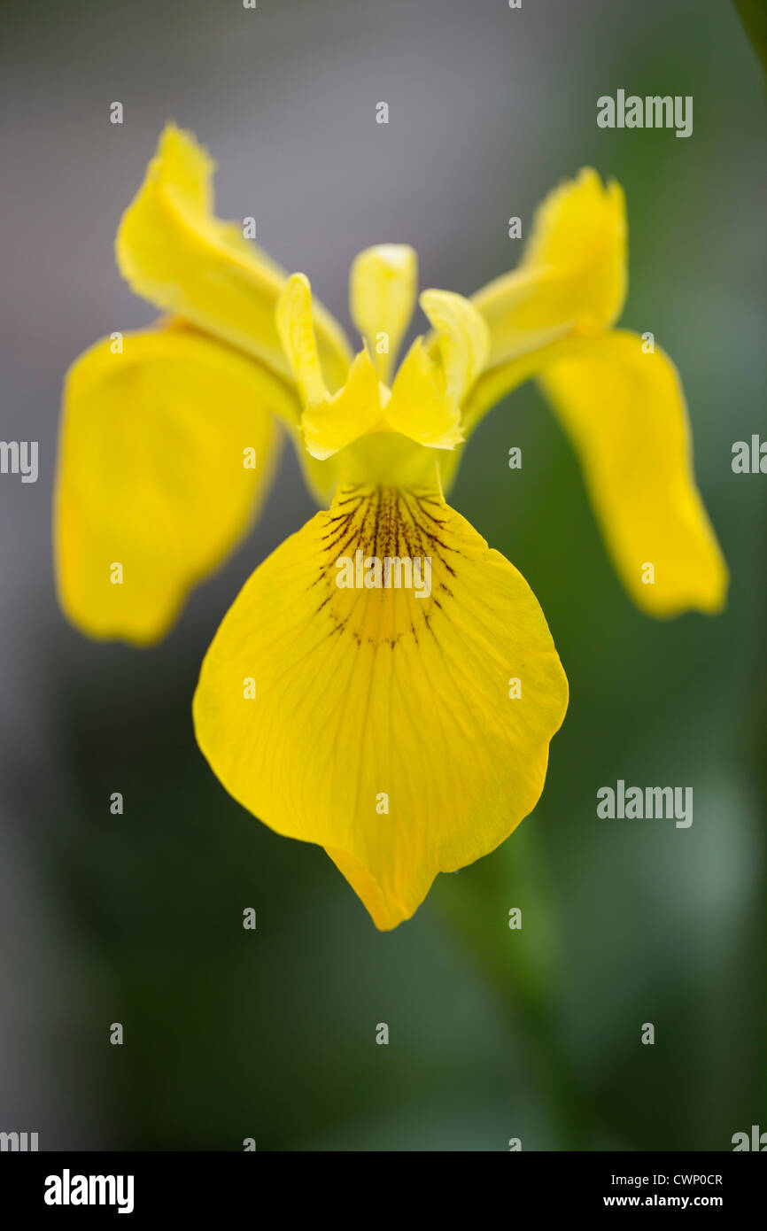 Yellow Flag Iris, Iris pseudacorus, in The Cotswolds, Oxfordshire, UK - Stock Image