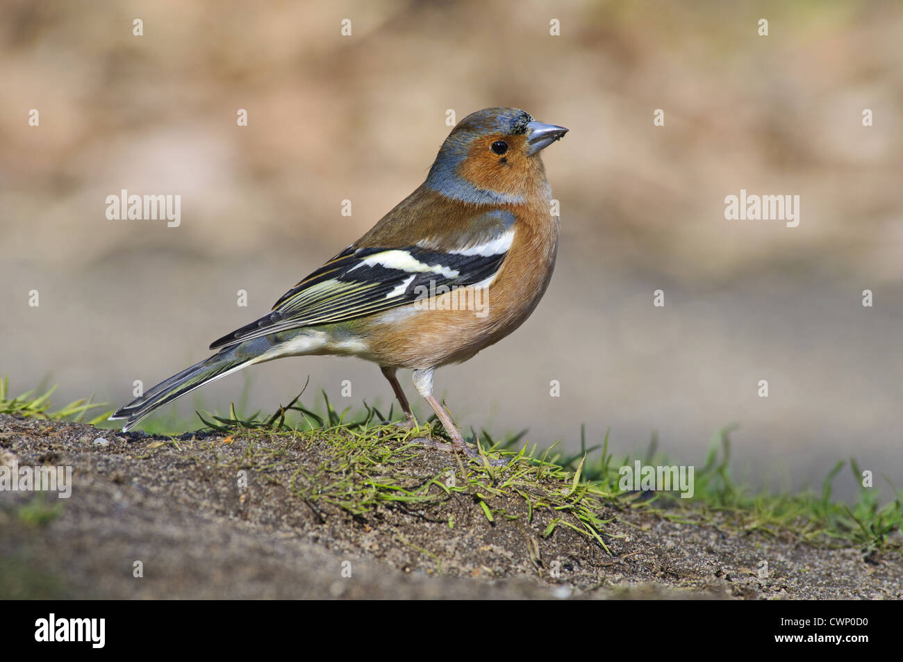 Chaffinch (Fringilla coelebs) adult male, foraging on ground under birdfeeders, Minsmere RSPB Reserve, Suffolk, - Stock Image