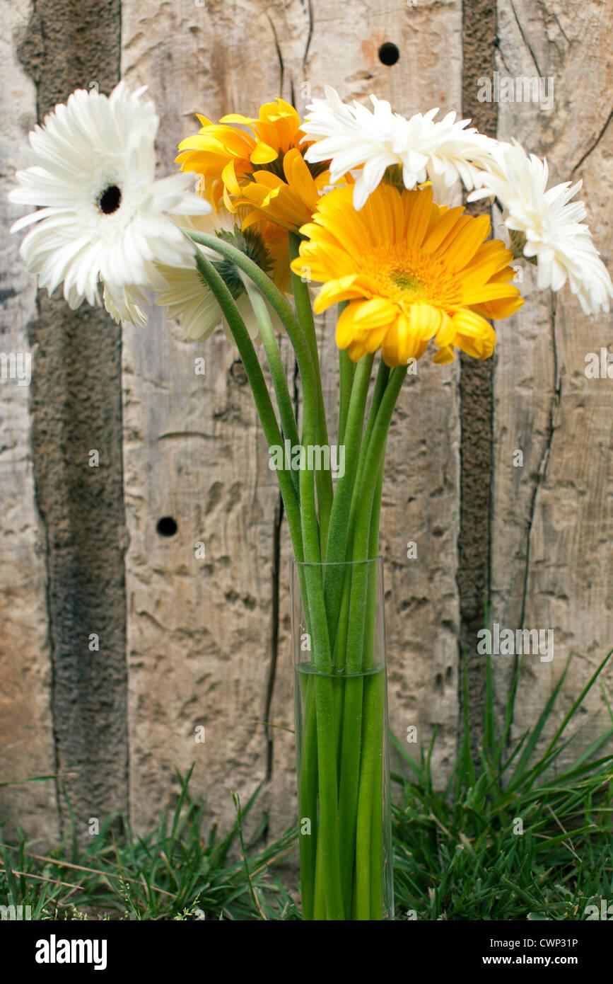 Gerbera daisies in vase - Stock Image