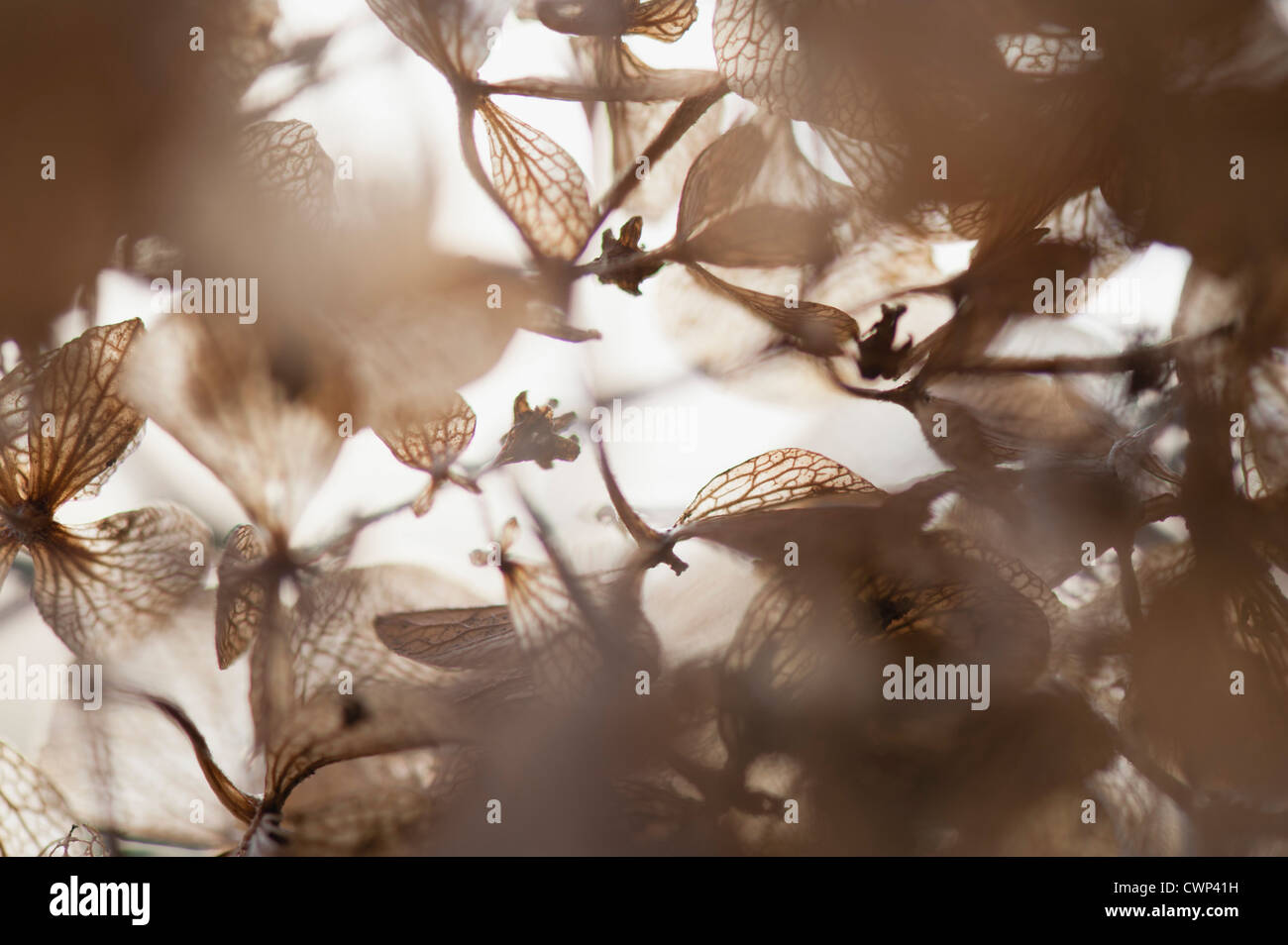 Brittle hydrangea flowers in winter - Stock Image