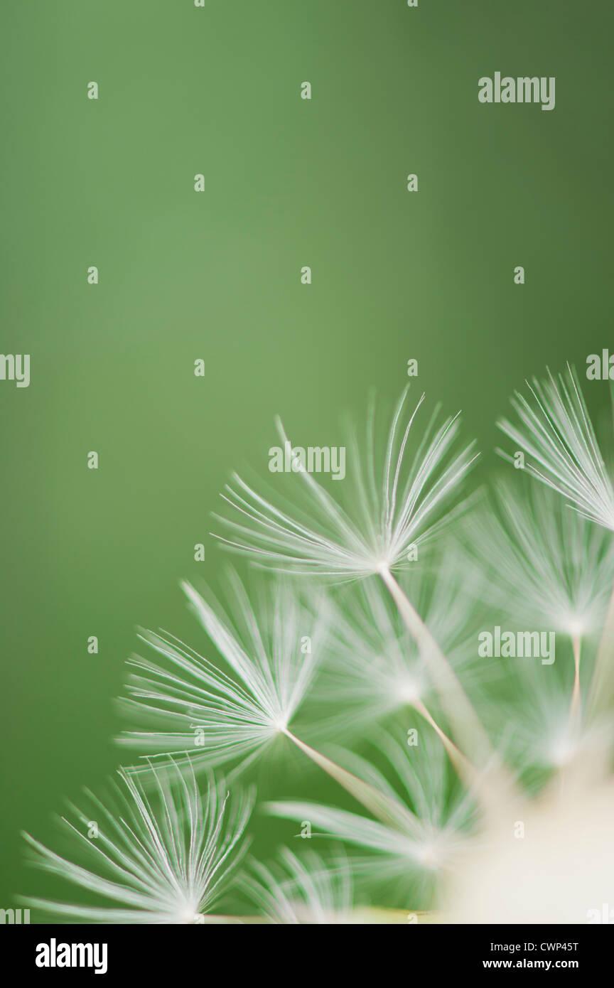 Dandelion seedhead, close-up - Stock Image