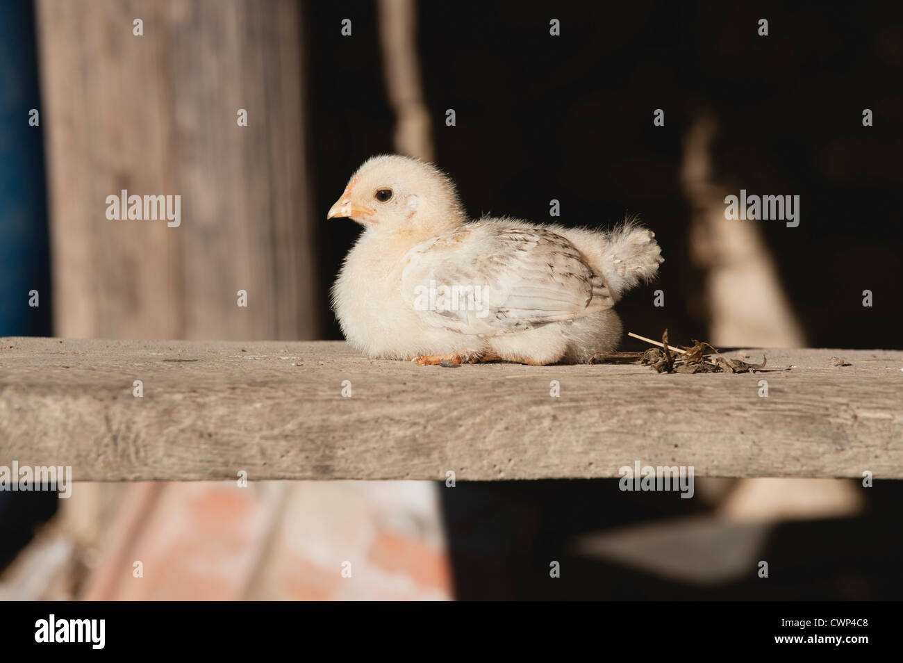 Baby chick resting on wooden beam - Stock Image