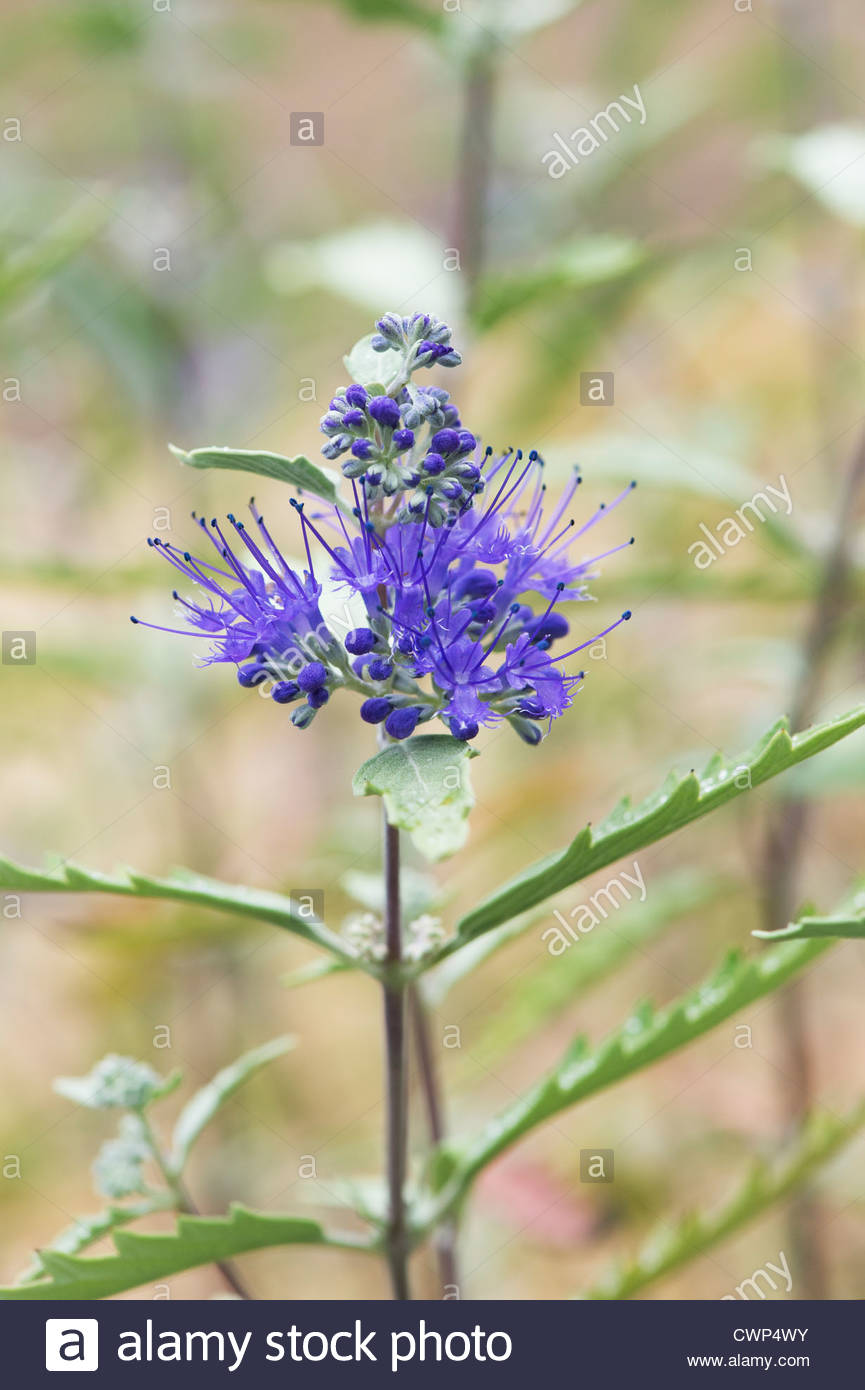 Blue mist flower growing stock photos blue mist flower growing caryopteris x clandonensis longwood blue blue mist spiraea flower stock image izmirmasajfo