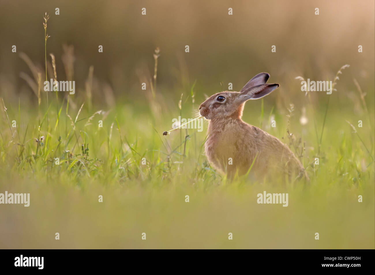 European Hare (Lepus europaeus) leveret, feeding on dandelion stem, Tamworth, Staffordshire, England, august - Stock Image