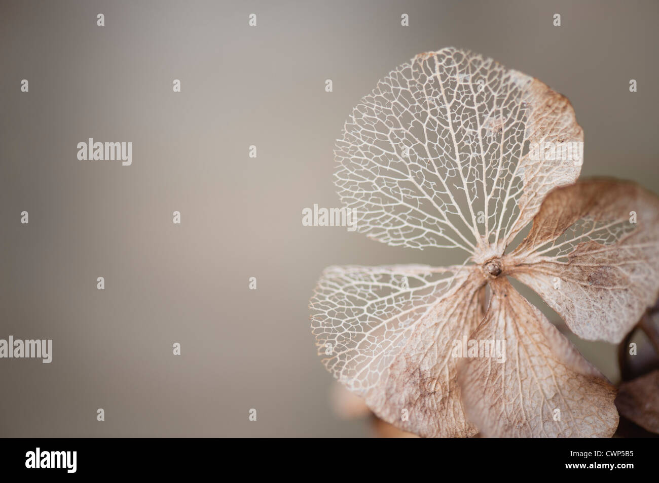 Physalis husk - Stock Image