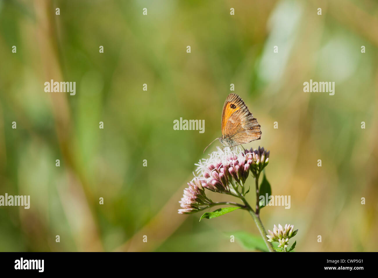 Meadow brown butterfly gathering pollen on flowers - Stock Image