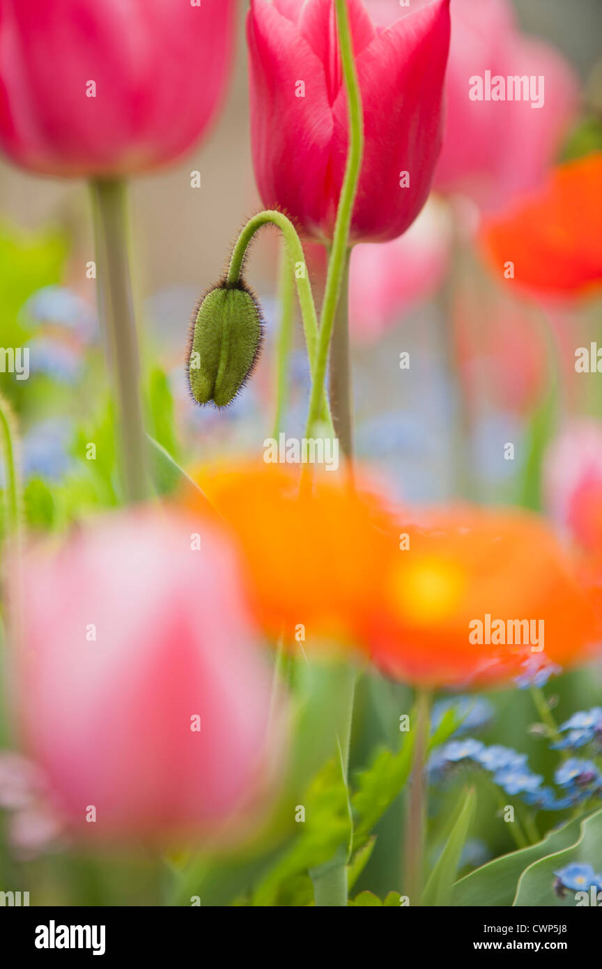 Poppies blooming - Stock Image